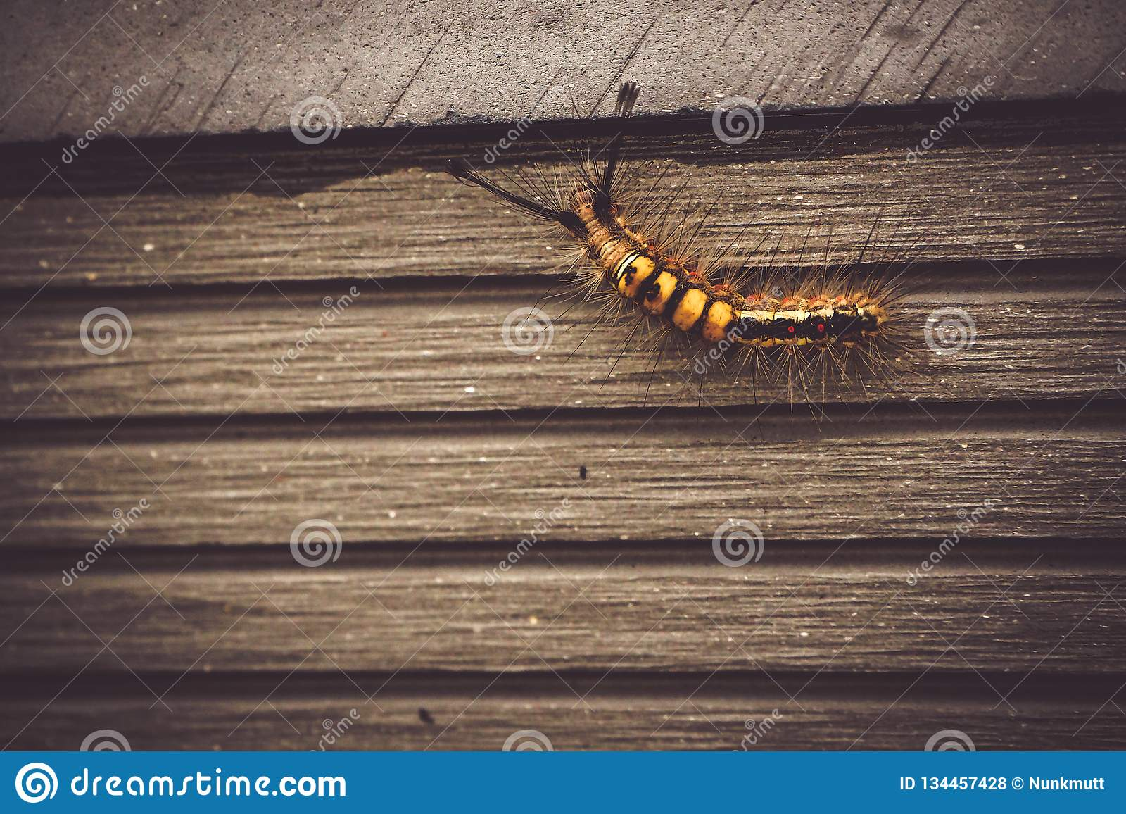 Caterpillar djurt krypfel i natur som går på den gamla träväggen av trädgårdbakgrund