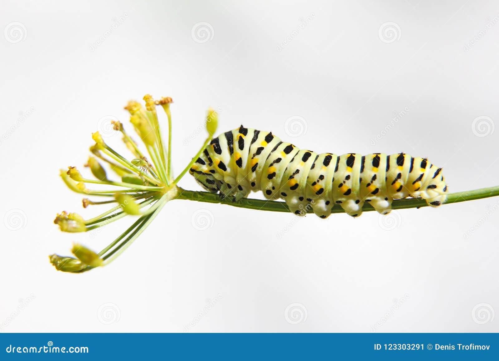 Caterpillar do swallowtail da borboleta - machaon, alimentações no aneto - erva-doce, vista lateral