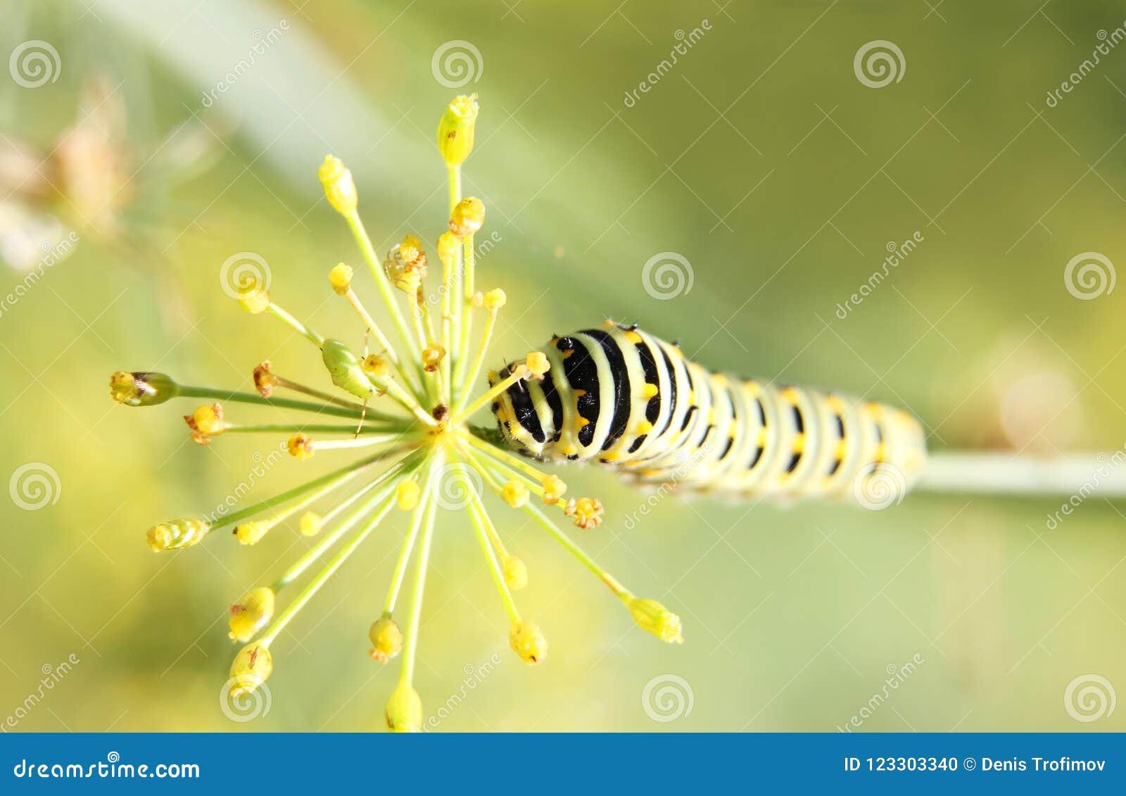 Caterpillar do swallowtail da borboleta - machaon, alimentações no aneto - erva-doce, vista superior