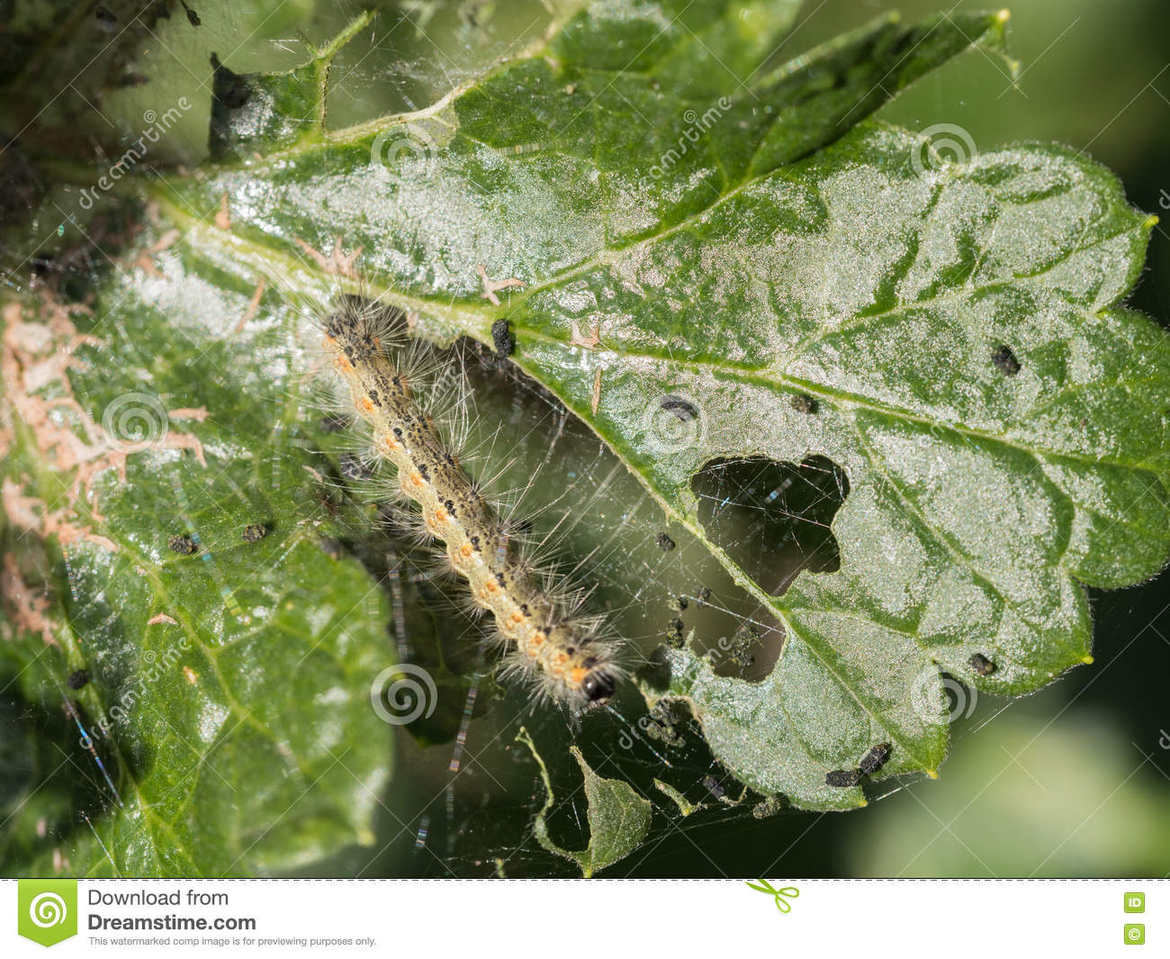 Caterpillar eating a leaf stock photo  Image of green - 76712560