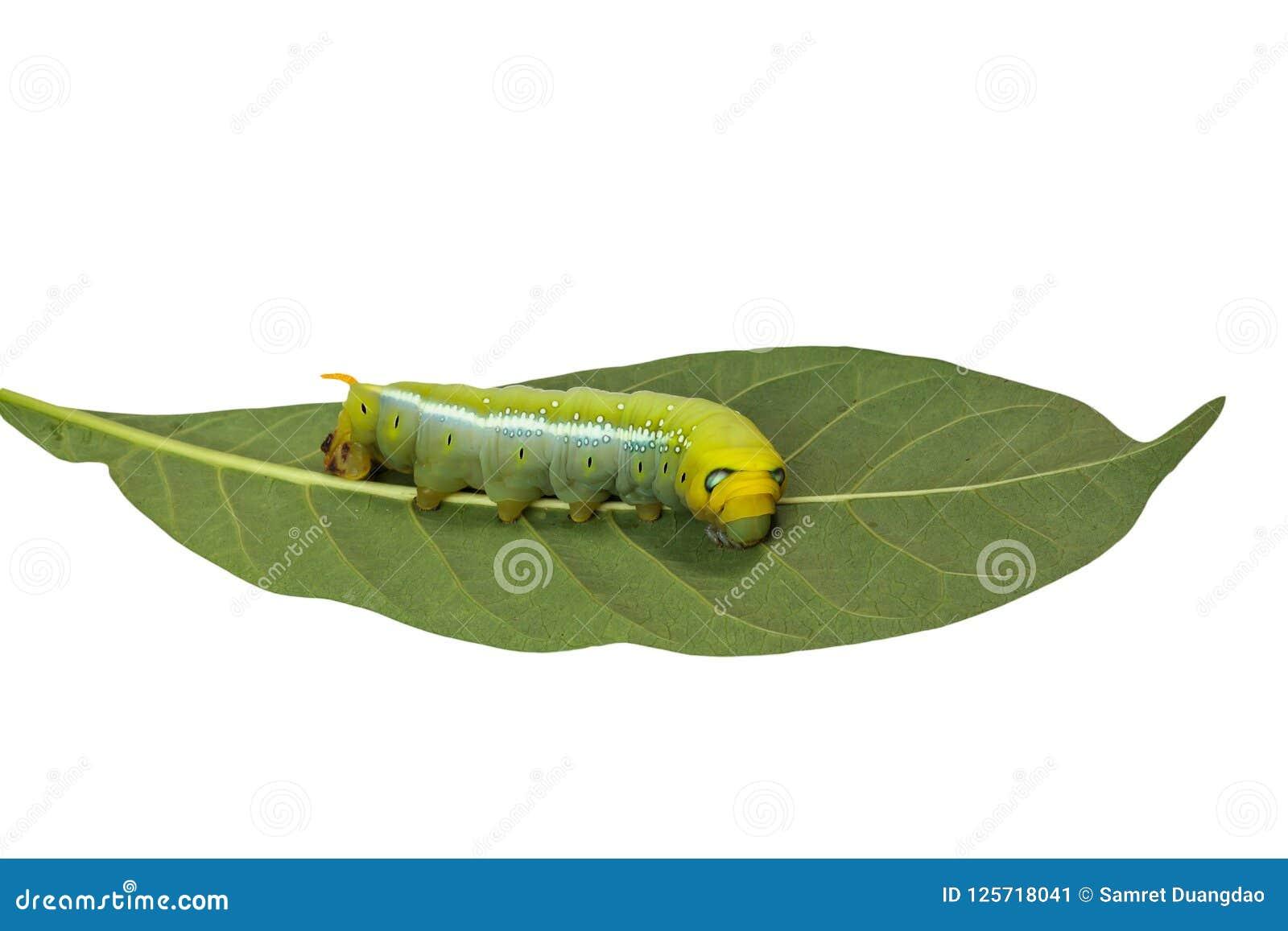 Caterpillar is een leuke kleurrijke worm en een greep op het blad op whit