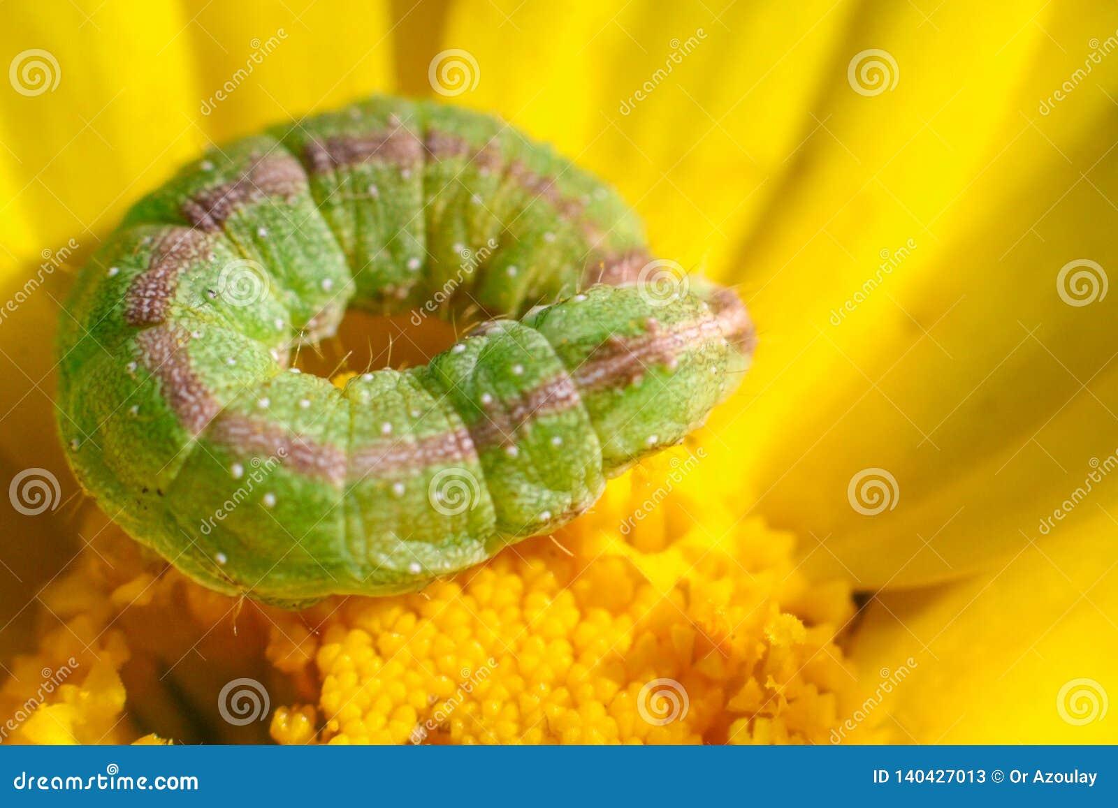 Caterpillar em um dente-de-leão