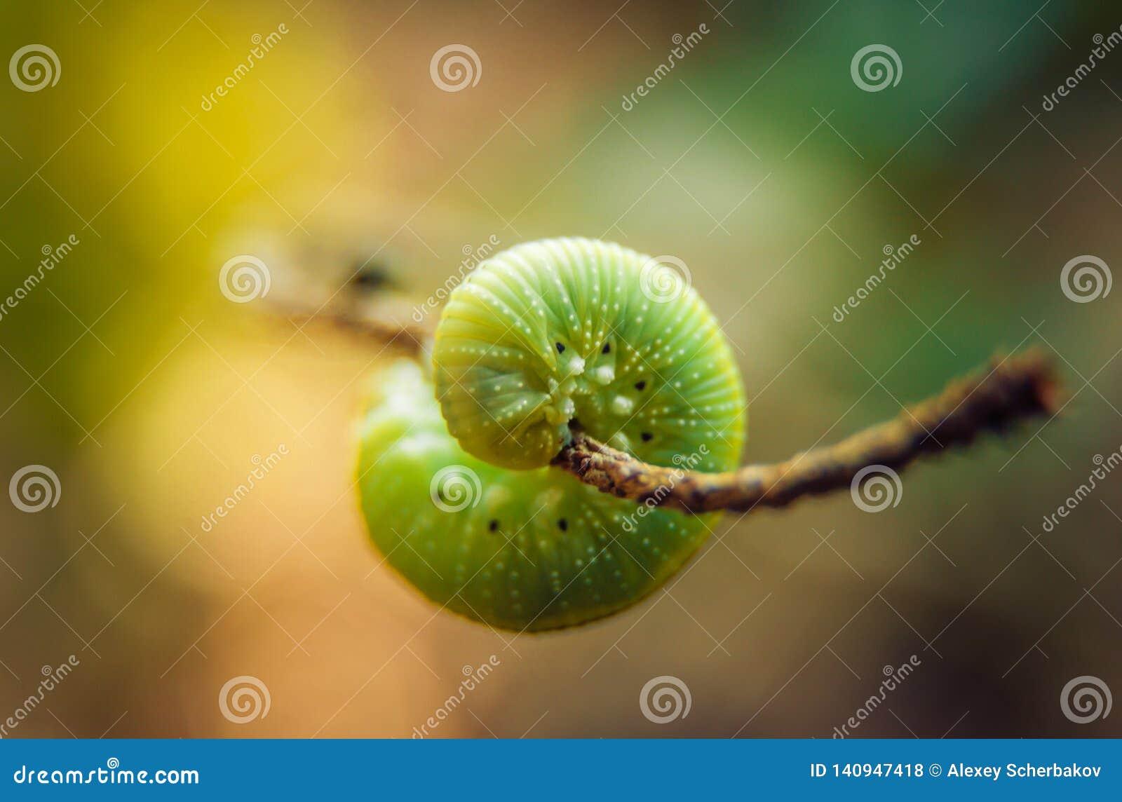Caterpillar em uma folha