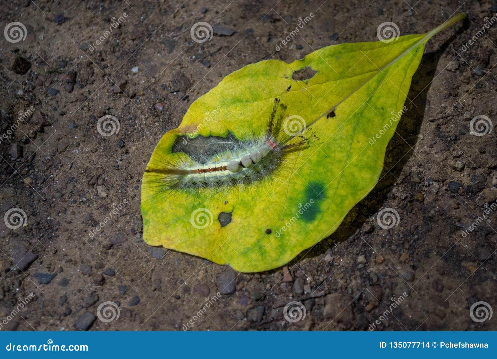 Caterpillar, mite de touffe marquée blanche sur une feuille
