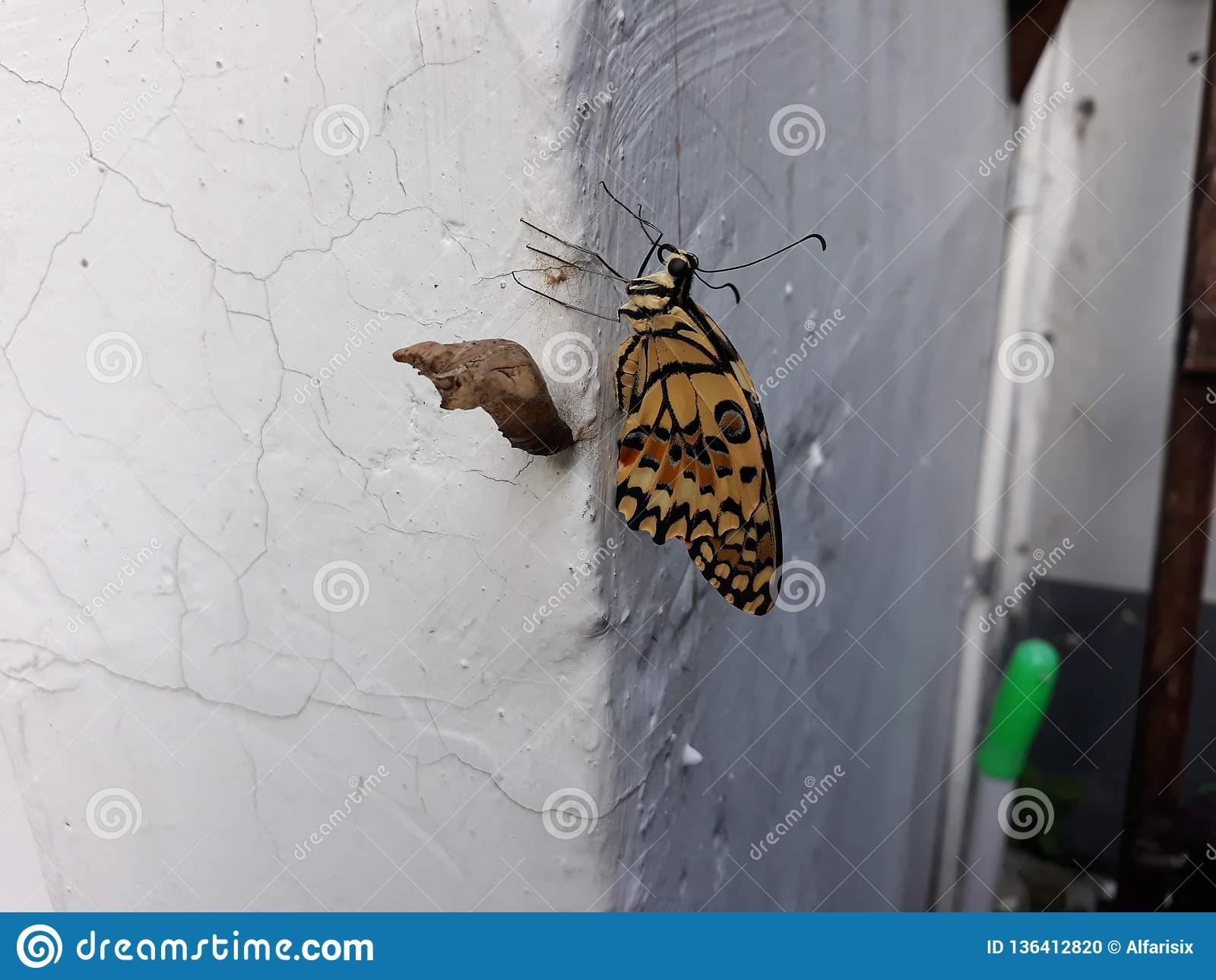 Caterpillar motyl