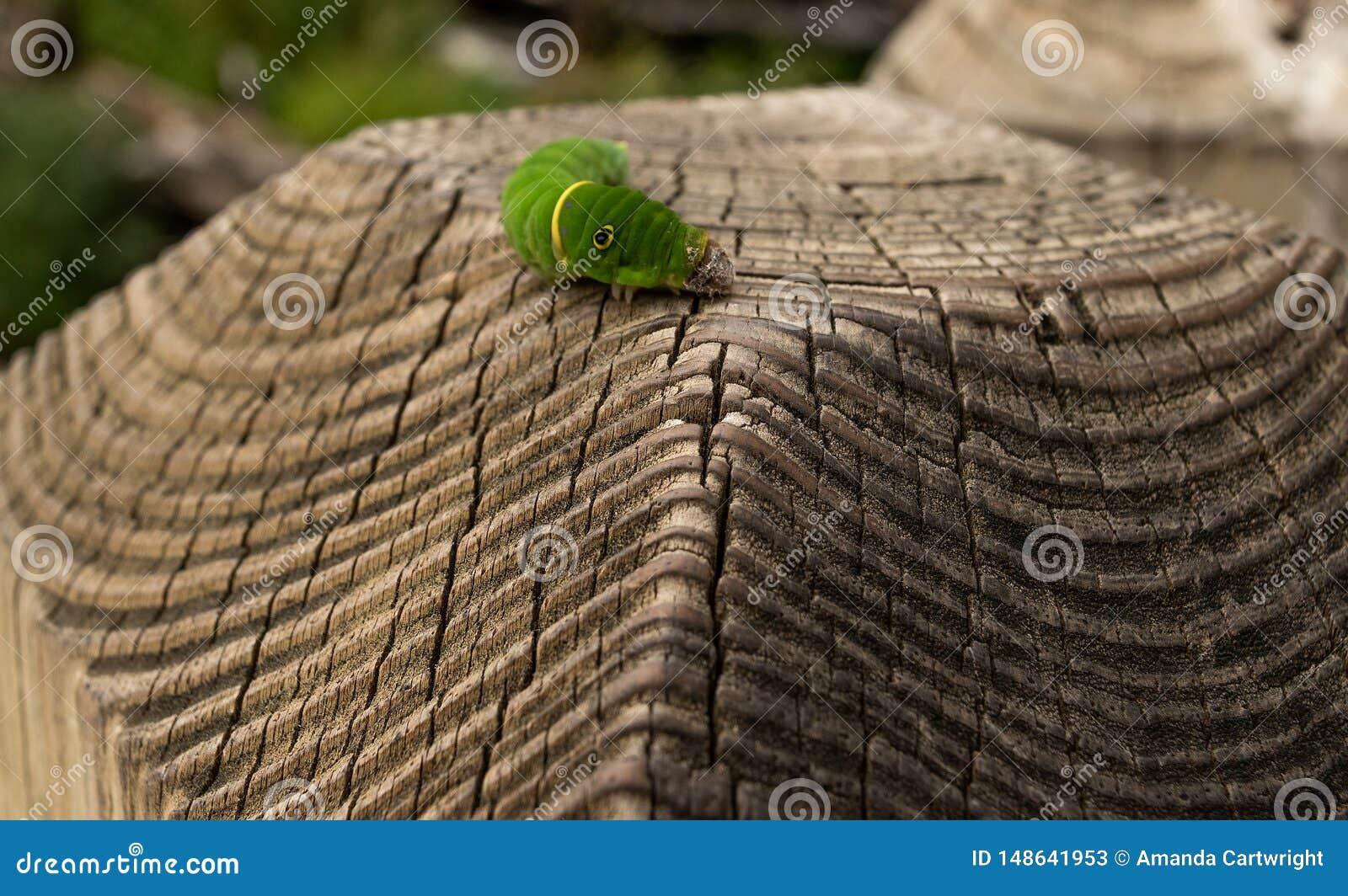 Caterpillar na cerca
