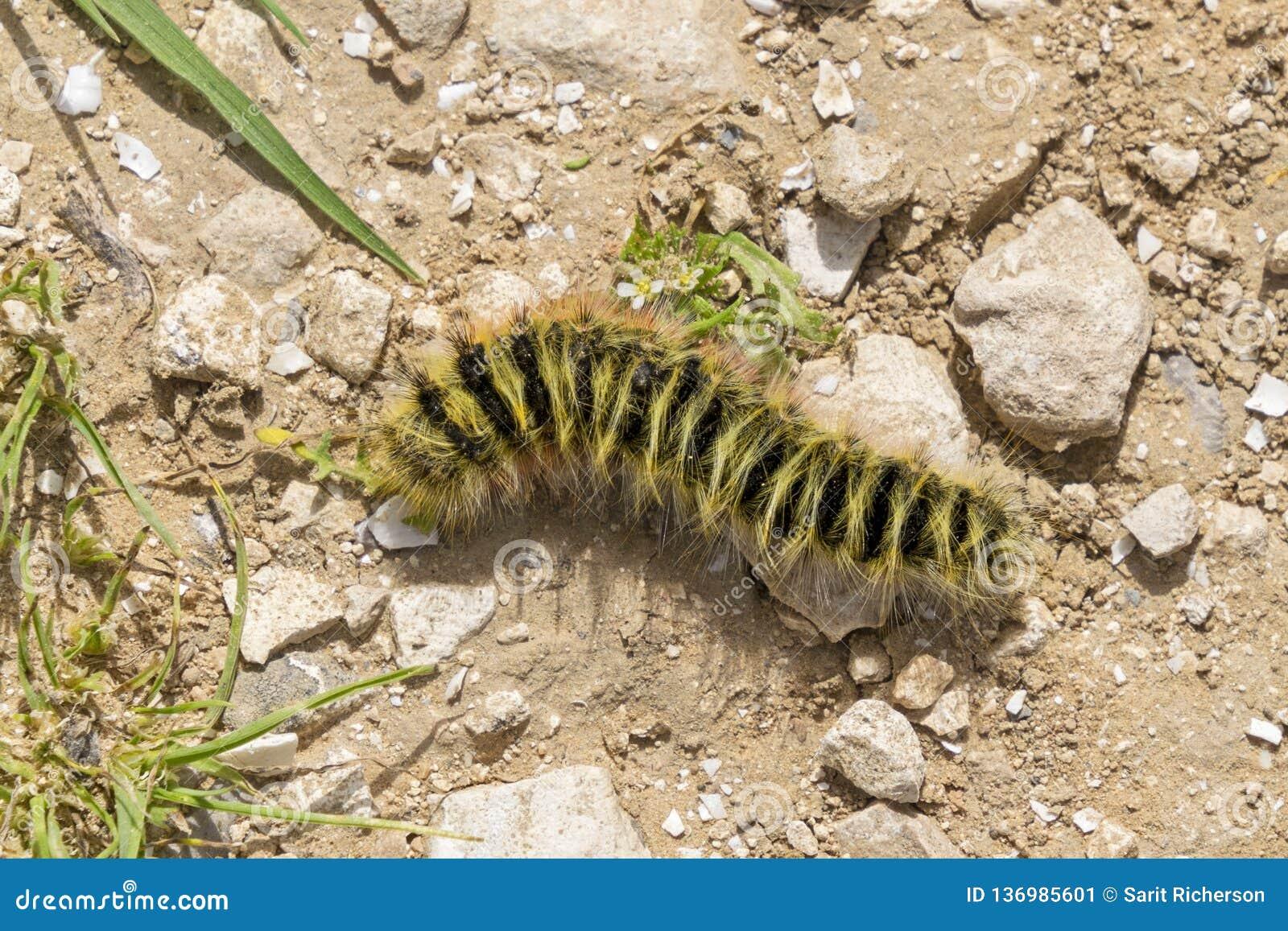 Caterpillar peludo amarelo e preto que rasteja no cascalho