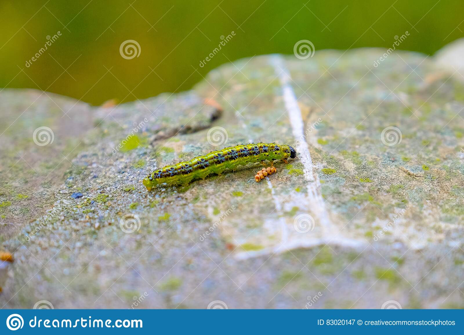 Download Caterpillar on rock stock image. Image of green, stone - 83020147