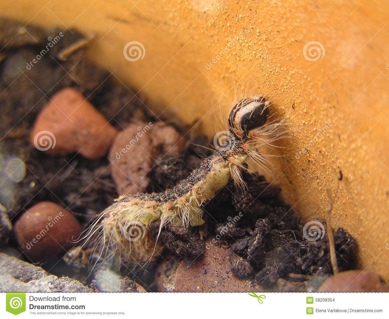 Gray Caterpillars That Are Big: Caterpillar Stock Photo. Image Of Black, Earth, Leaf