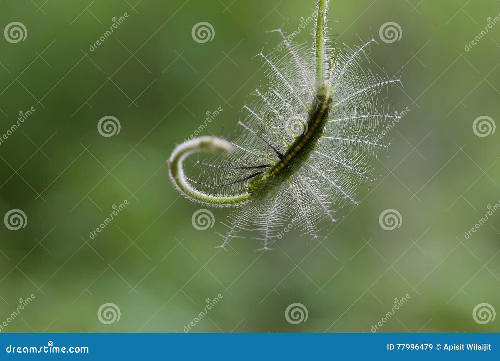 Caterpillar in Sud-est asiatico