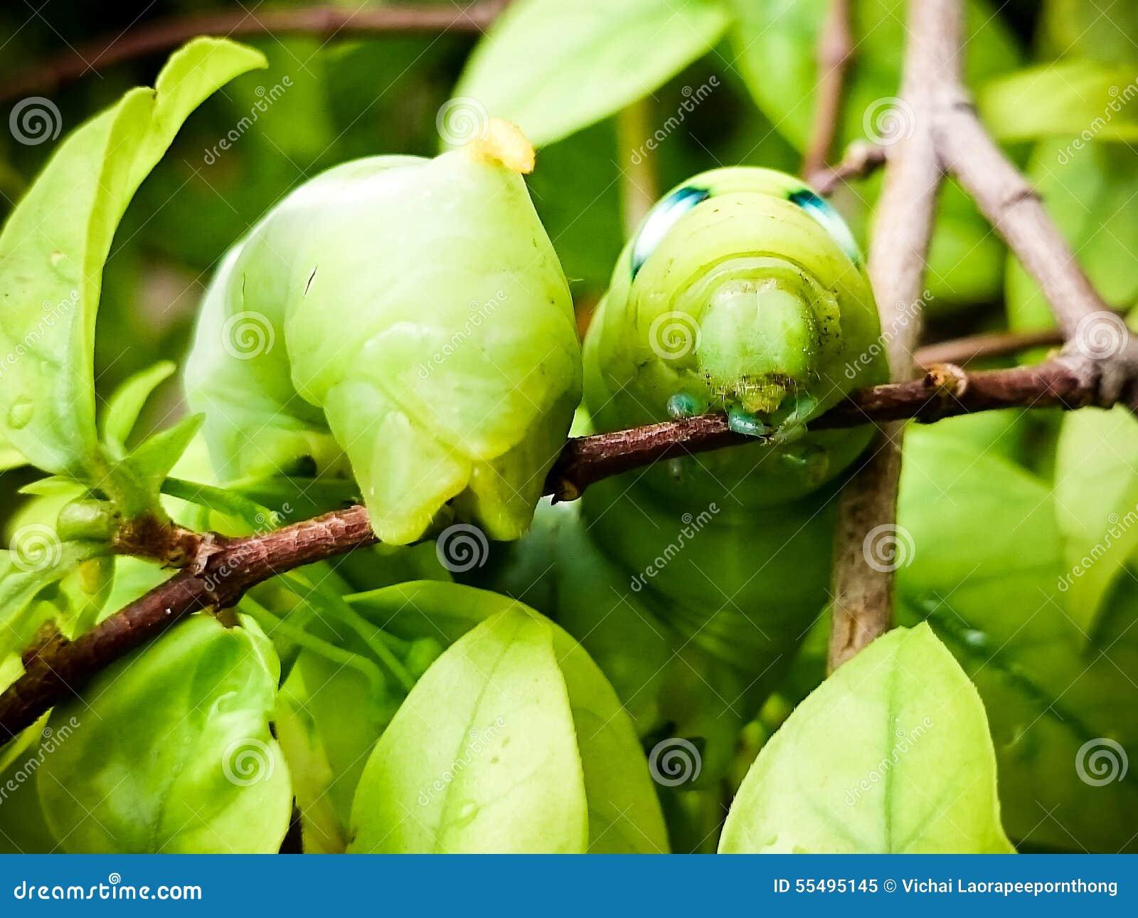 Caterpillar verde sopra su un ramo Fine in su