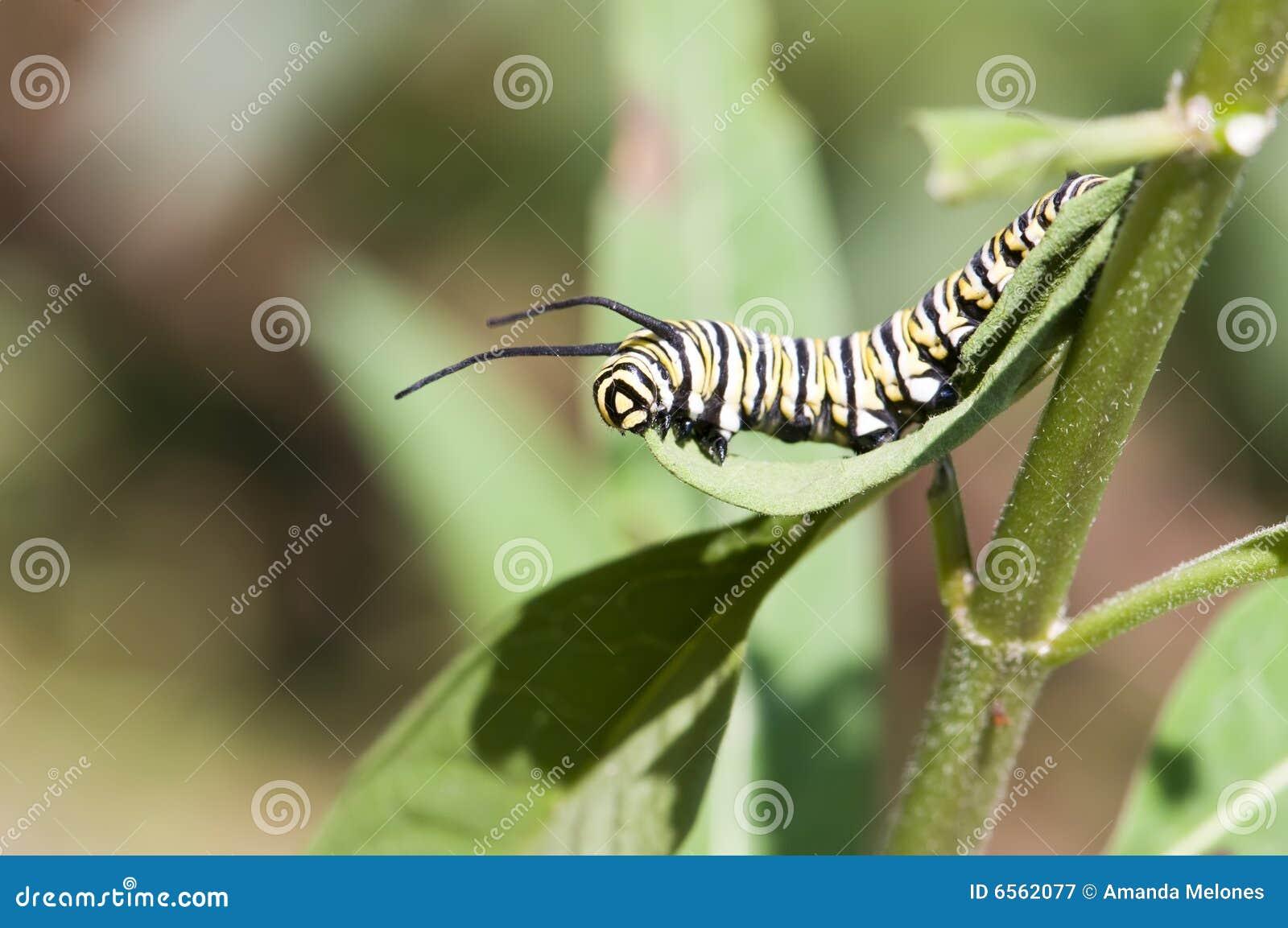 Caterpillar5国君
