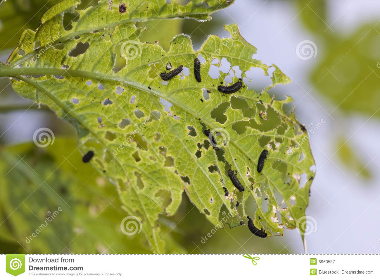 Caterpillars chewing a leaf