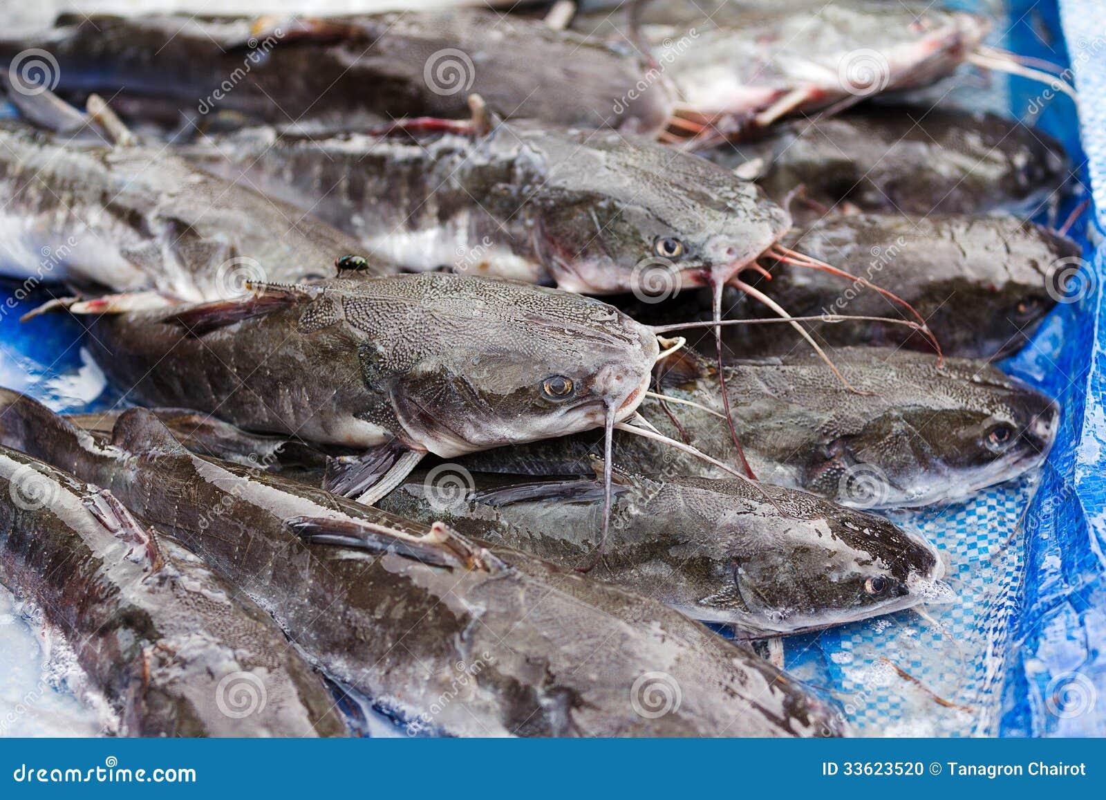 Catfish stock photo image 33623520 for Ice fishing for catfish