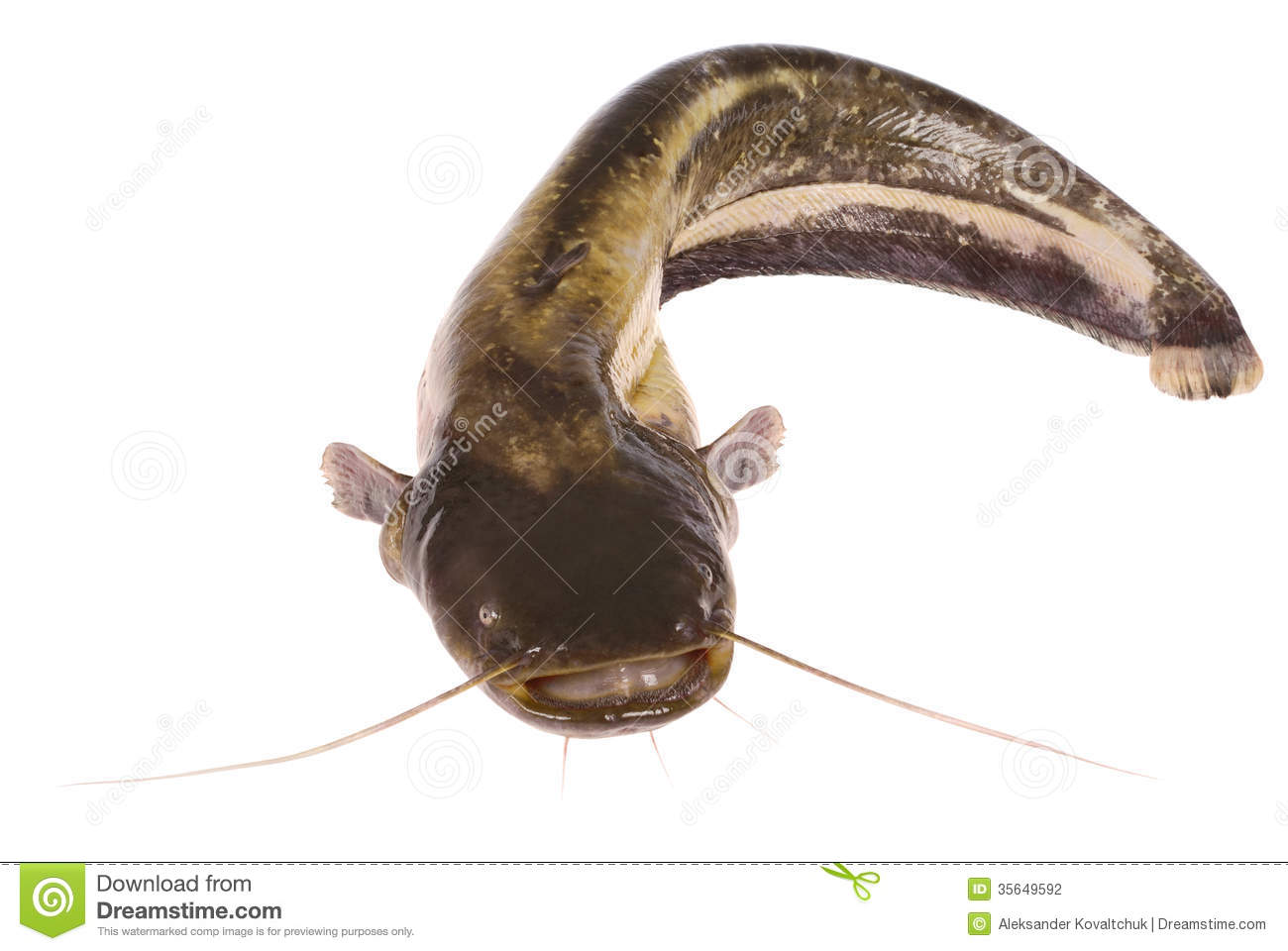 Catfish on white clipping path stock photo image 35649592 for Best time to fish for catfish