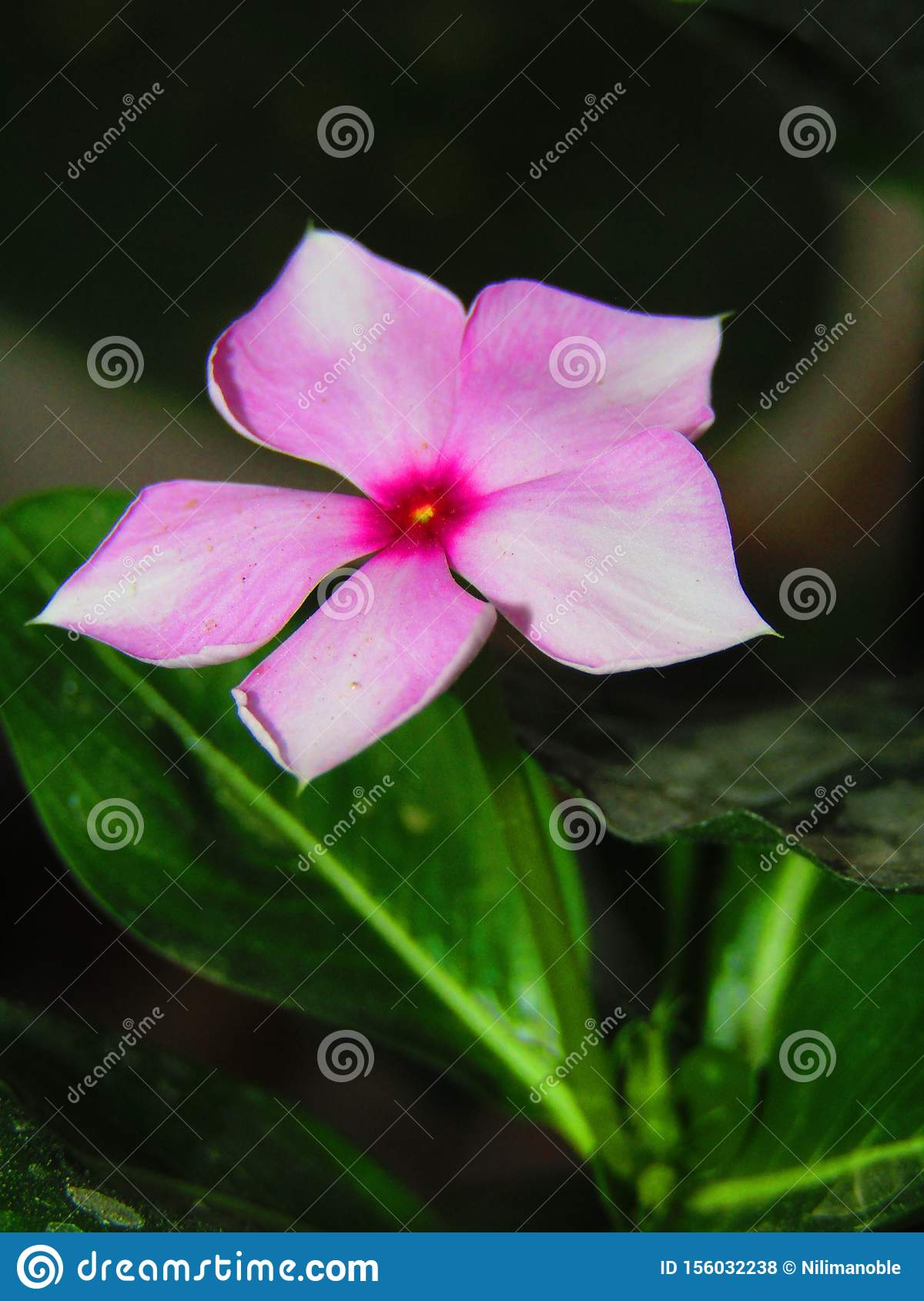 Catharanthus Roseus, Commonly Known As Bright Eyes, Cape ...