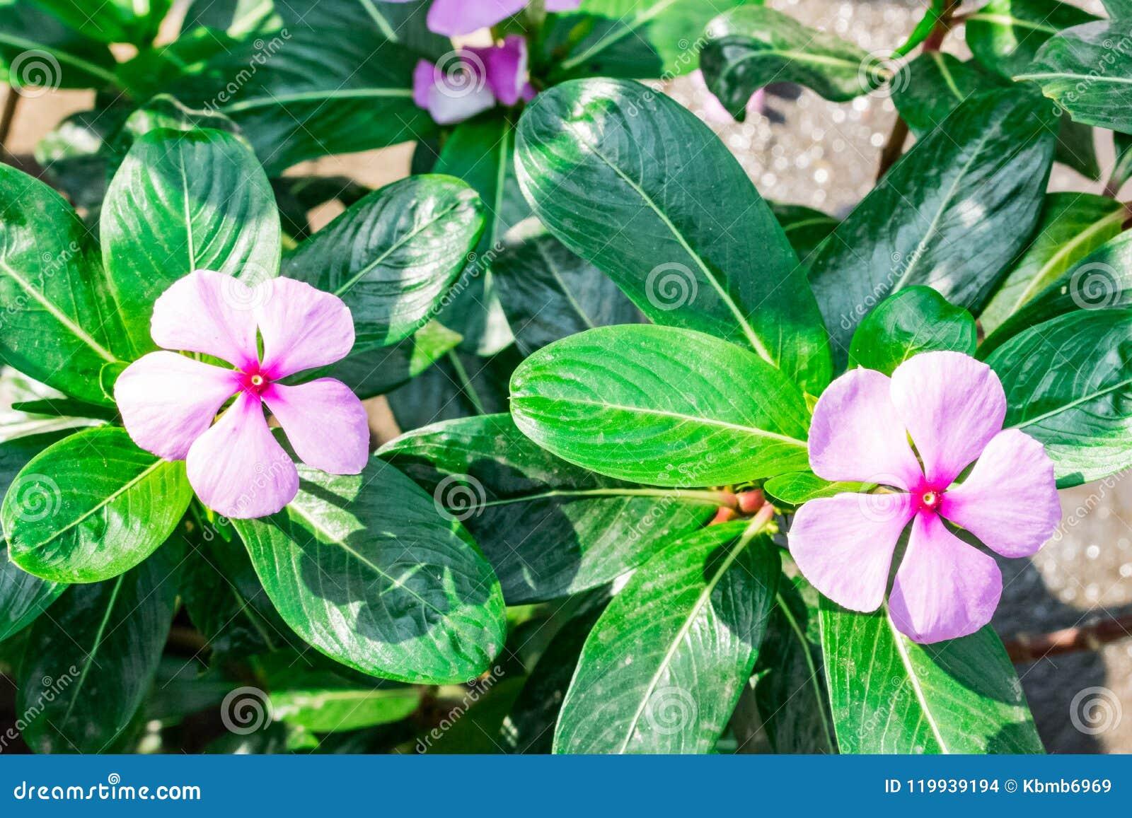 madagascar Periwinkle Hot Five Petal Flower Five Petals ...