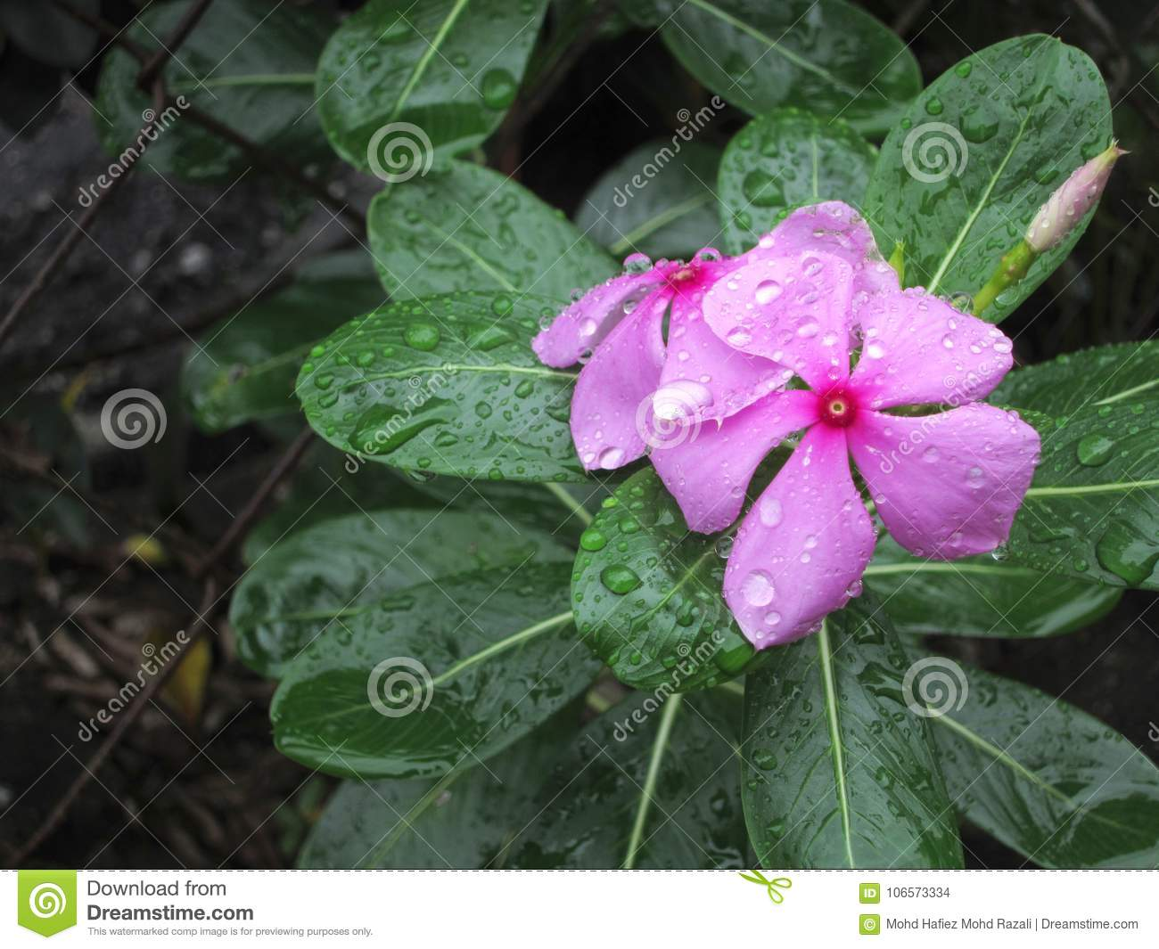 Catharanthus Roseus, Commonly Known As The Madagascar Periwinkle ...
