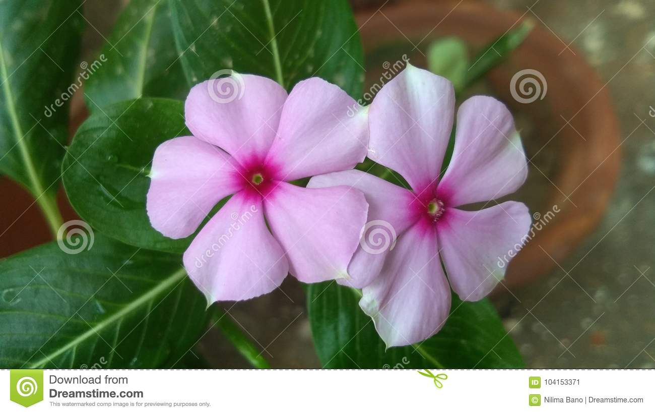 Catharanthus Roseus Commonly Known As The Madagascar Periwinkle Or ...
