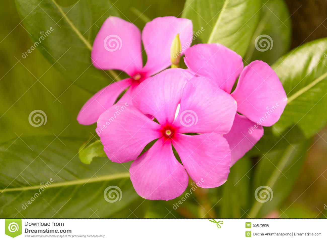 Catharanthus roseus stock photo. Image of blossom, pink - 55073836