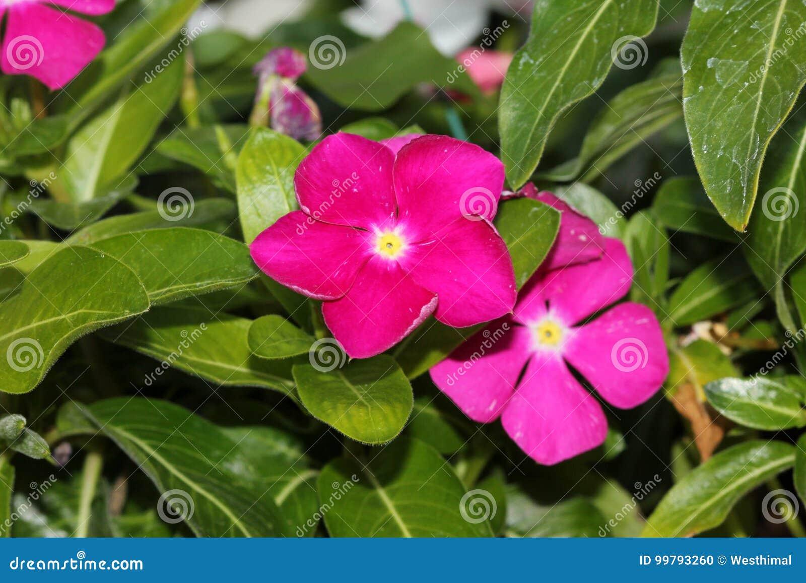 Catharanthus Roseus Magenta, Madagascar Periwinkle, Vinca ...