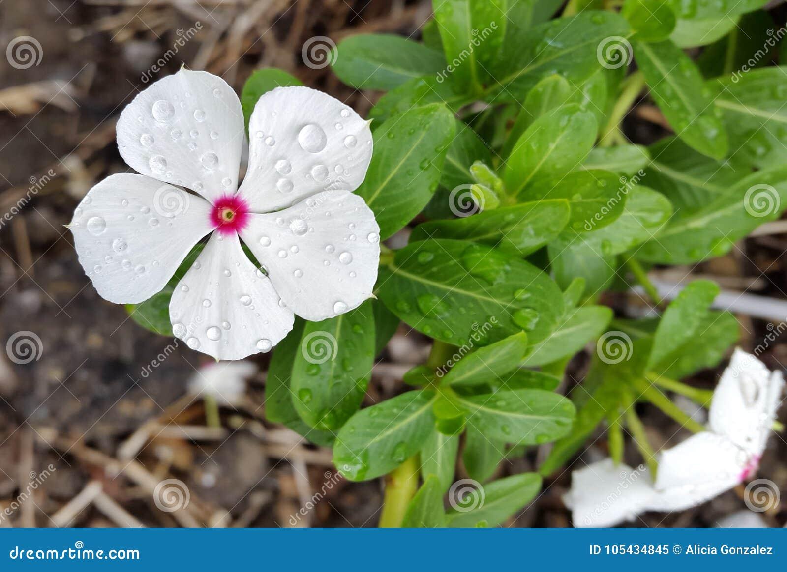 Catharanthus Roseus Vinca De Madagascar Periwinkle Stock ...