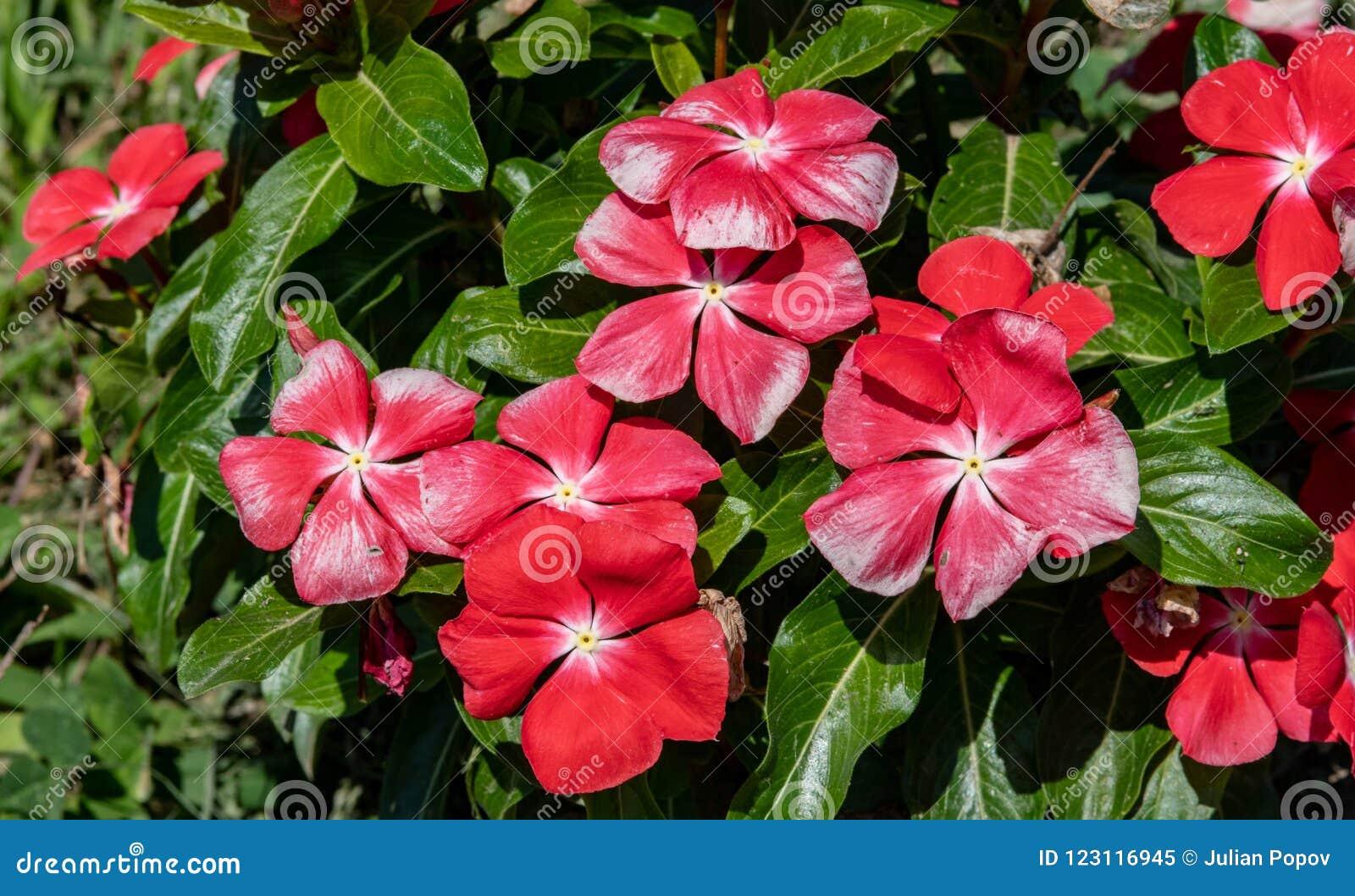 Catharanthus Roseus, Vinca Flower,Madagascar Periwinkle ...