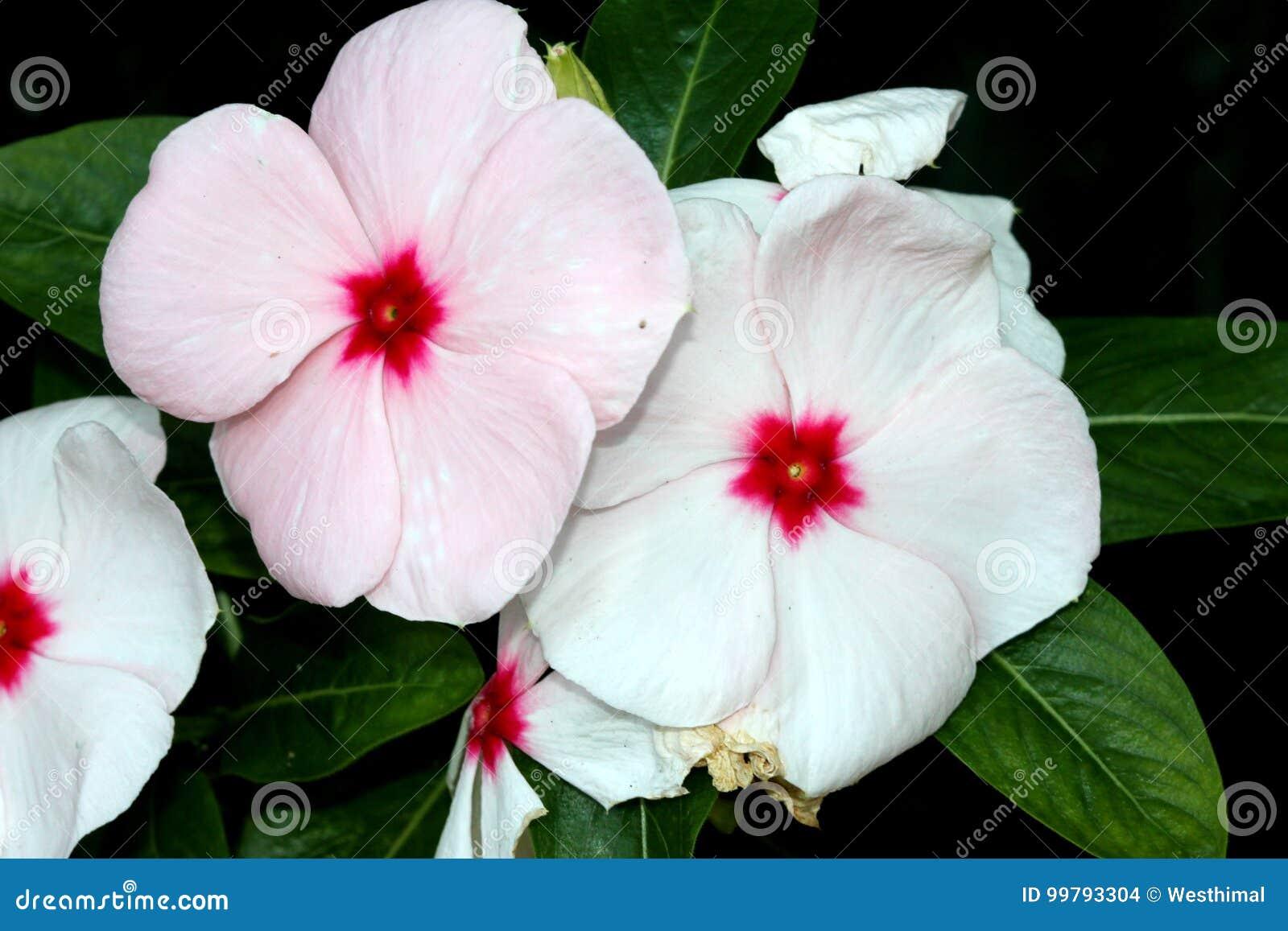 Catharanthus Roseus White, Madagascar Periwinkle, Vinca ...