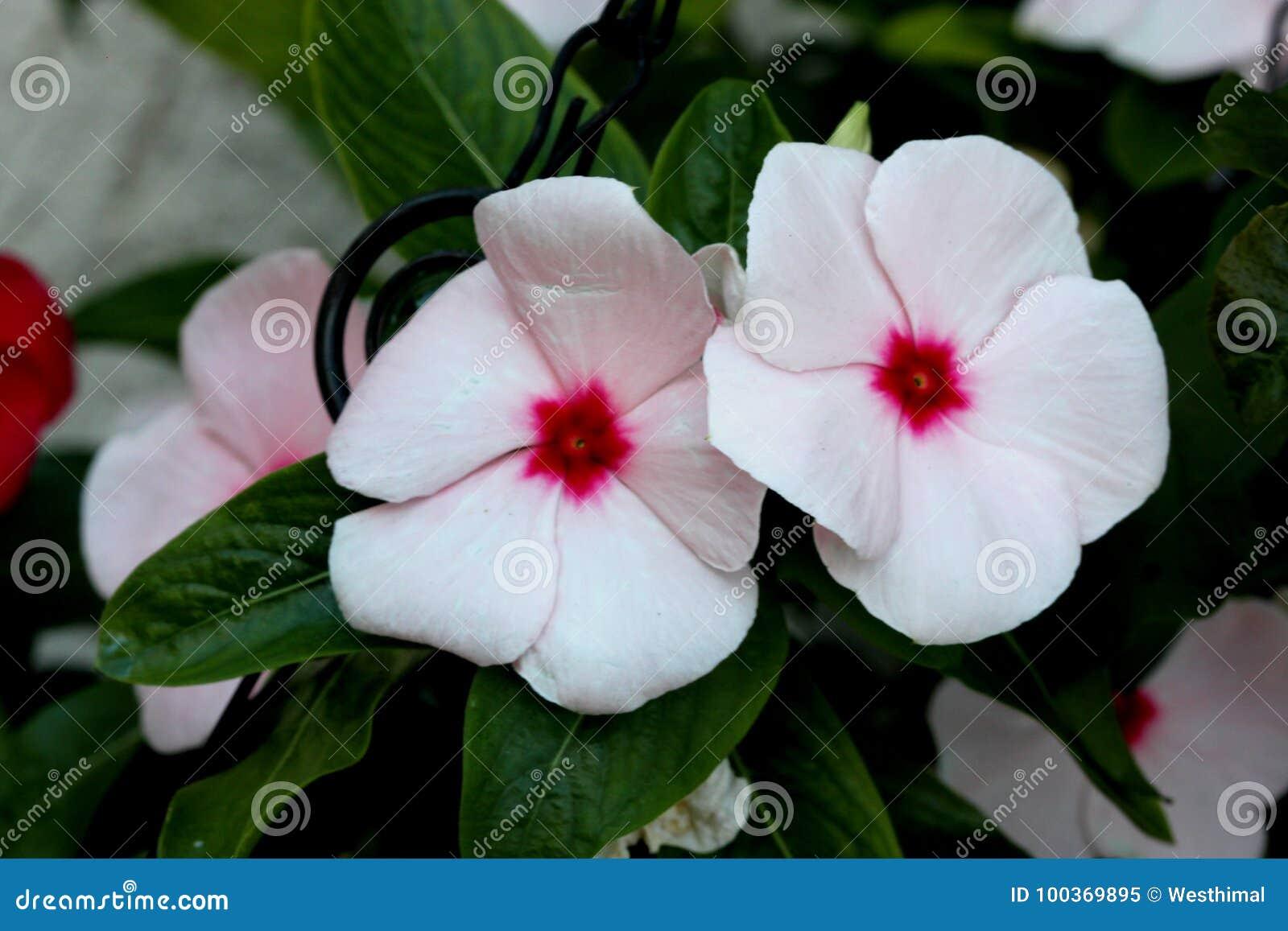 Catharanthus Roseus White Madagascar Periwinkle Vinca Rosea Stock
