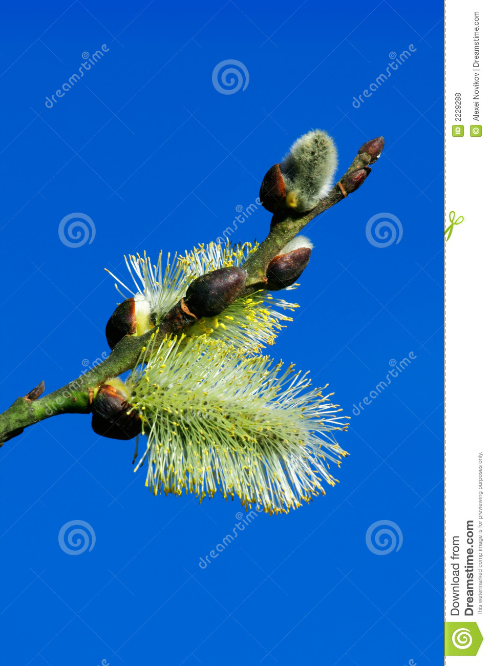 Catkins στενός χνουδωτός μεταξωτός επάνω