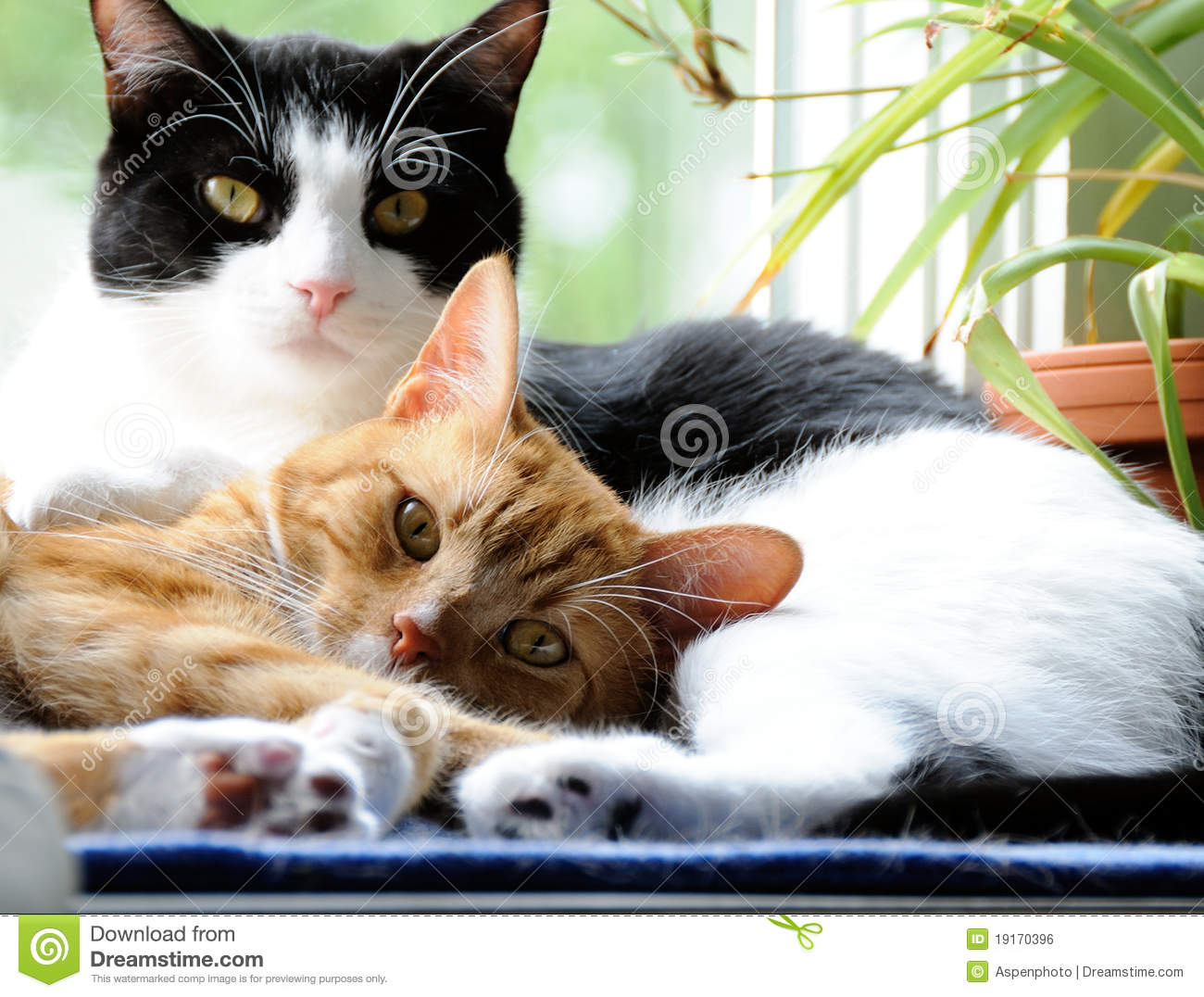Cats Snuggling Together Stock Photo Image Of Love Short