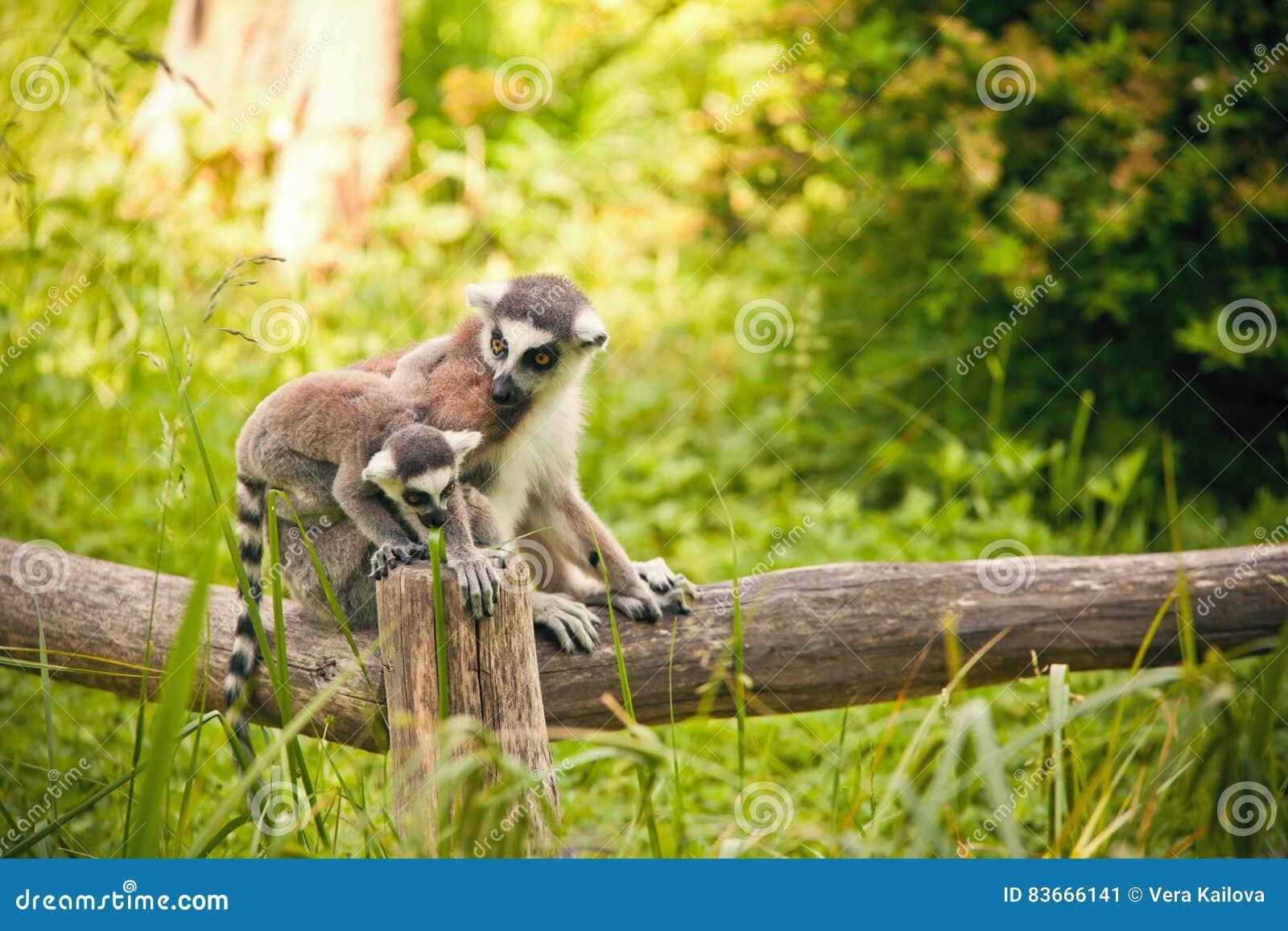 Catta Anneau-coupé la queue de lémur de lémur