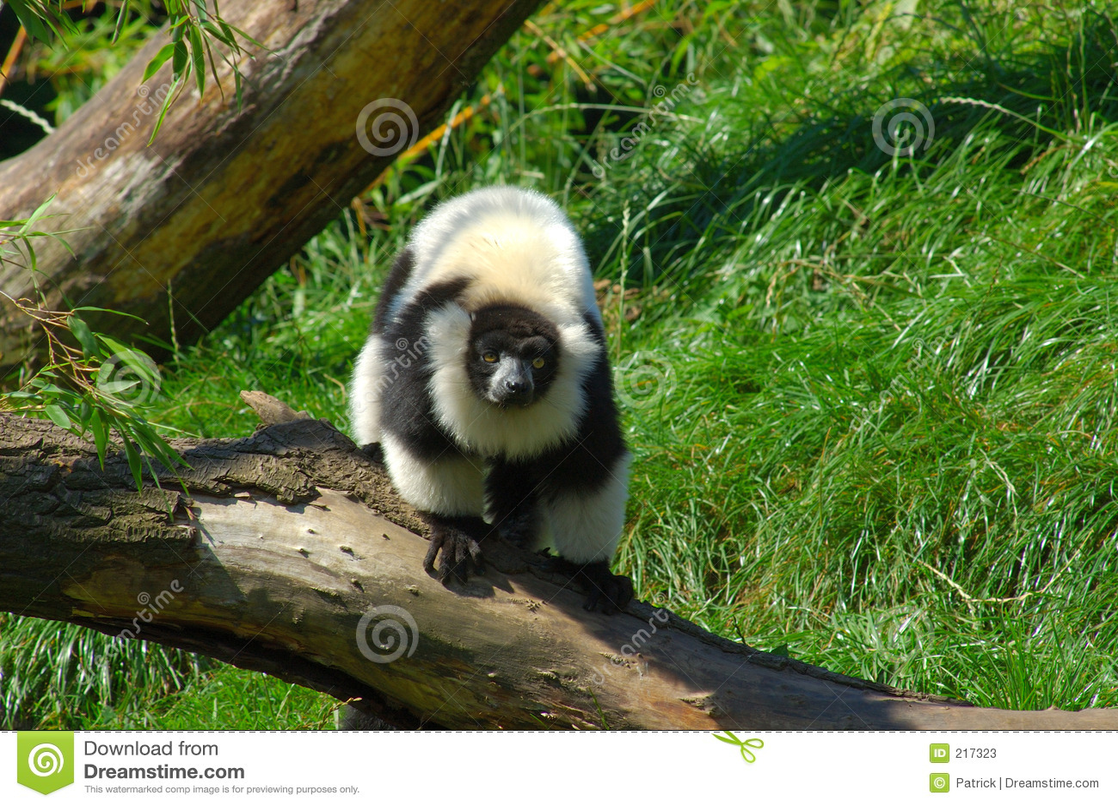 Catta de Lemur.