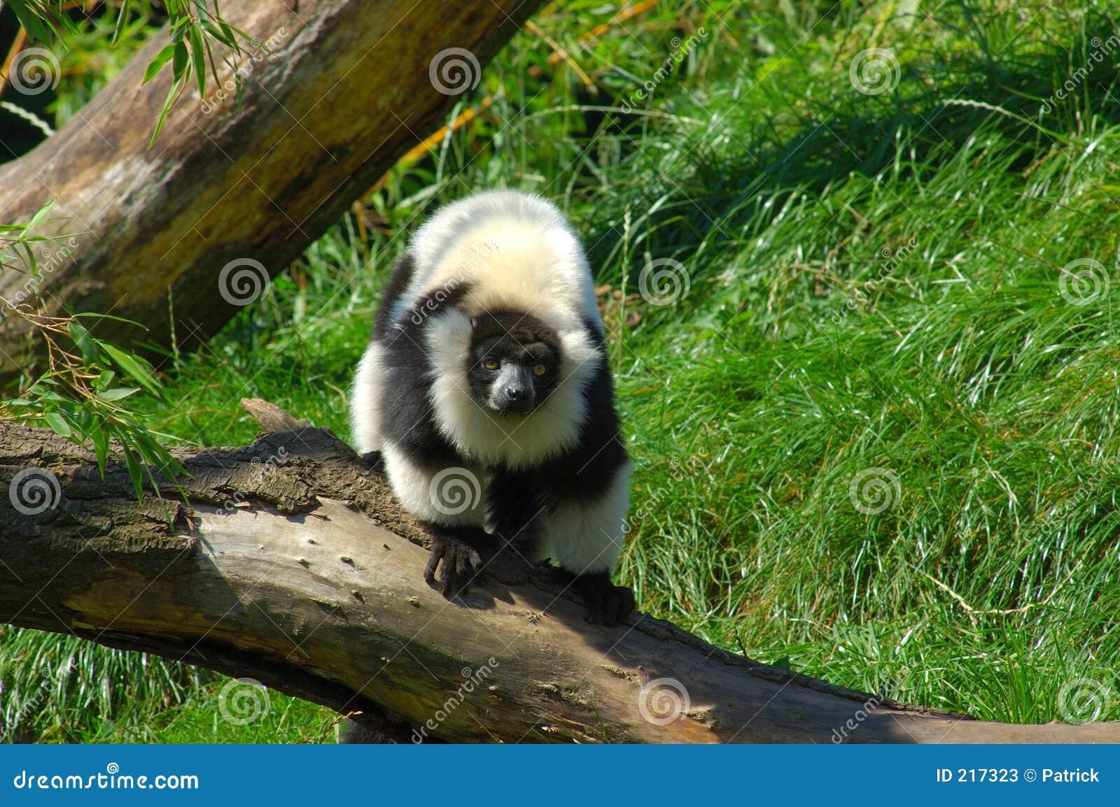 Catta del Lemur.