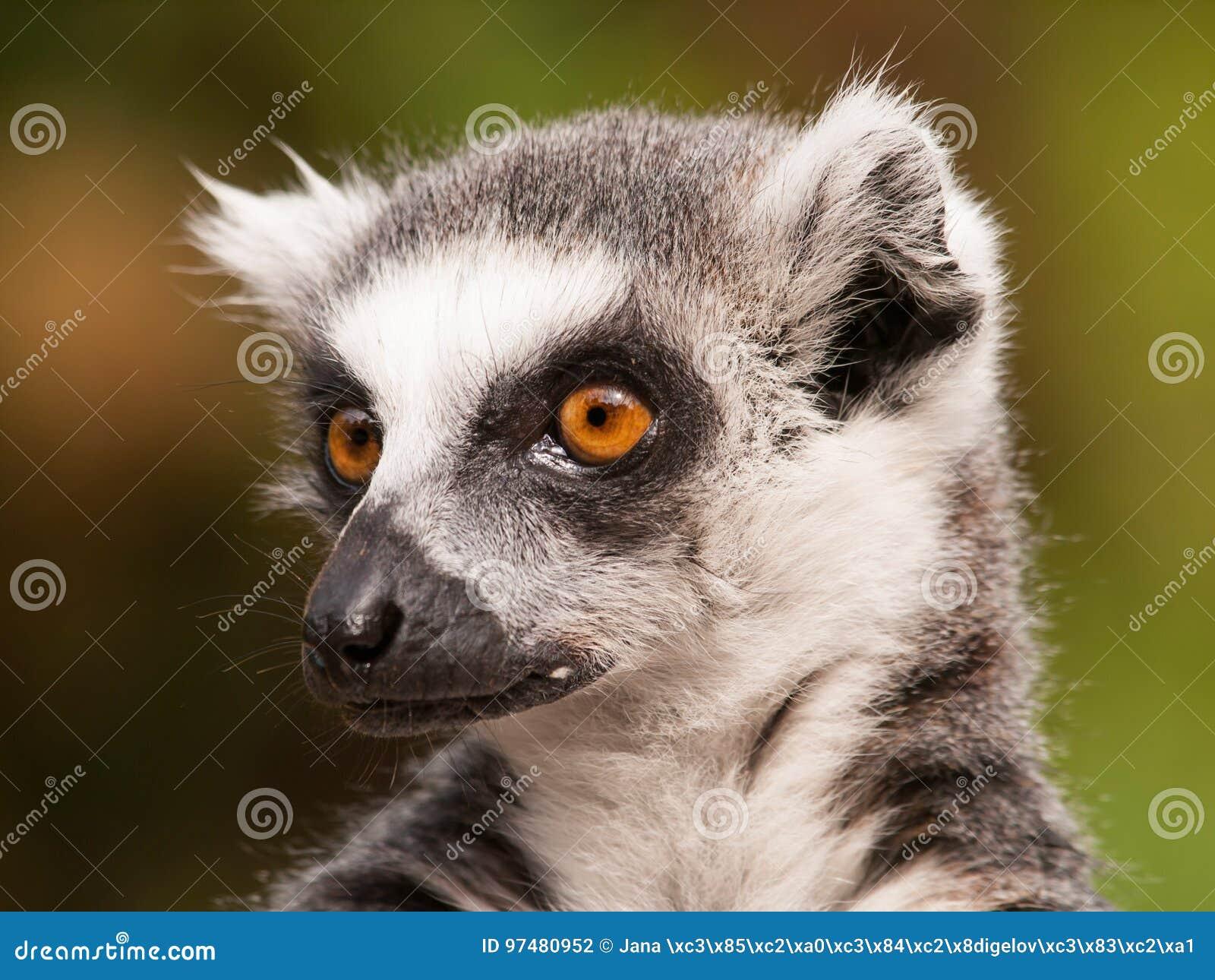 Catta delle lemure - lemure catta dall isola del Madagascar