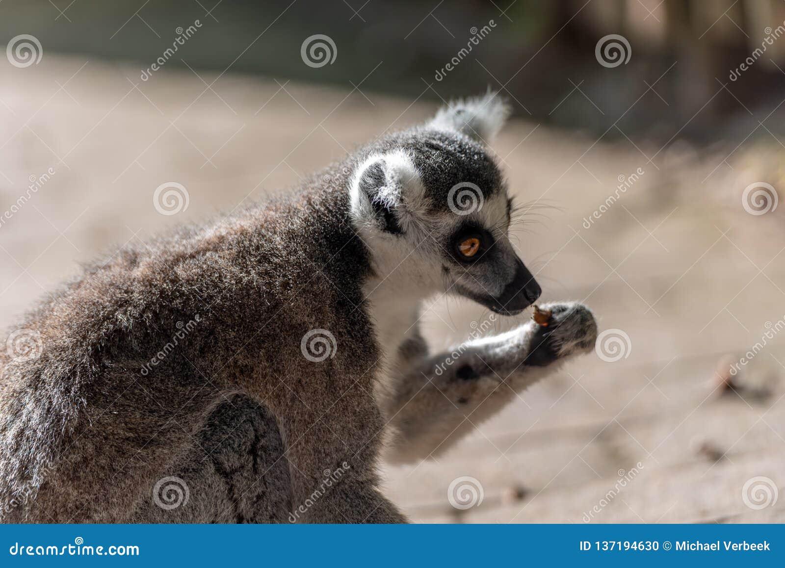 Catta delle lemure mangiare da solo in un parco