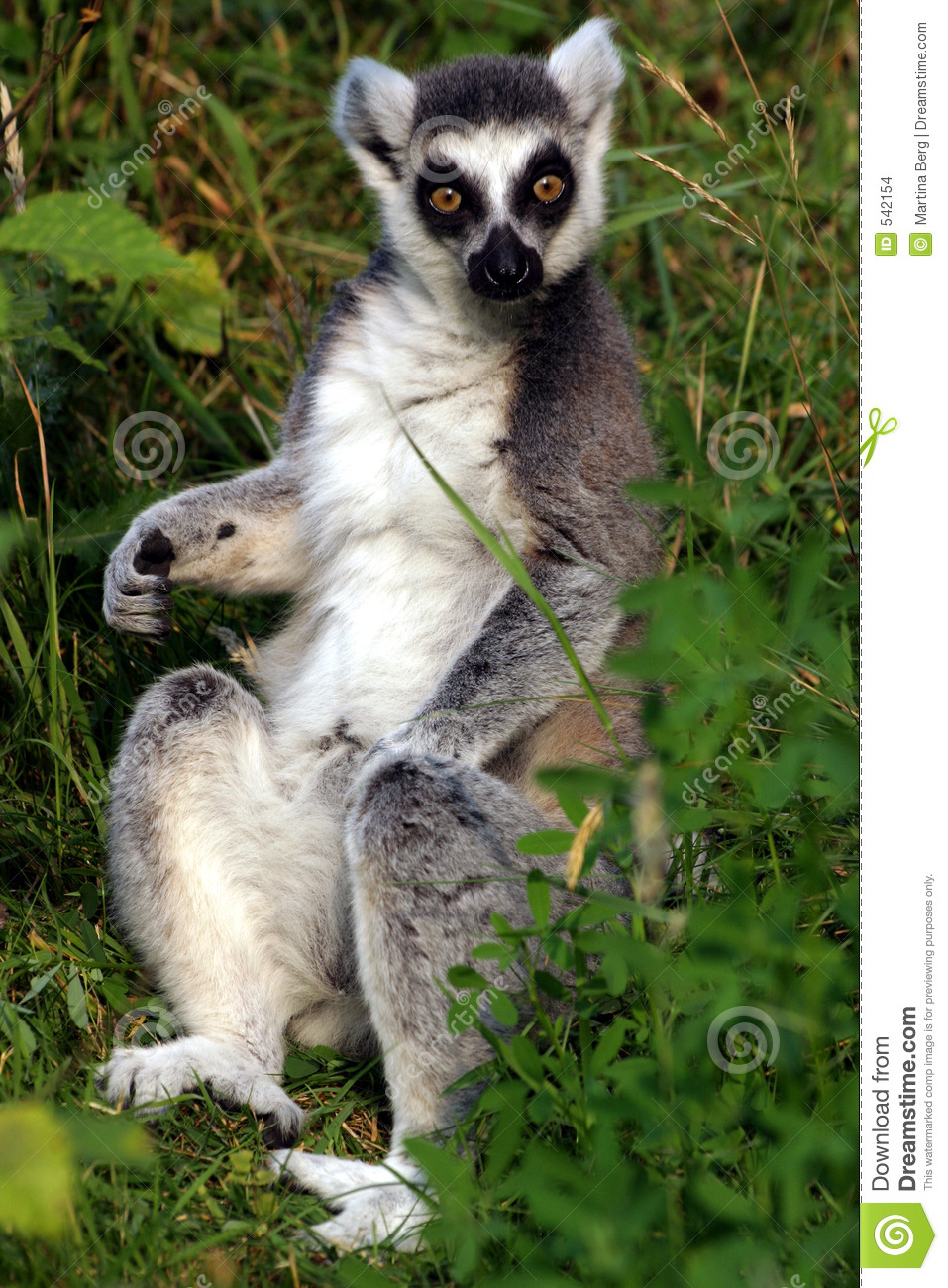 Catta do Lemur