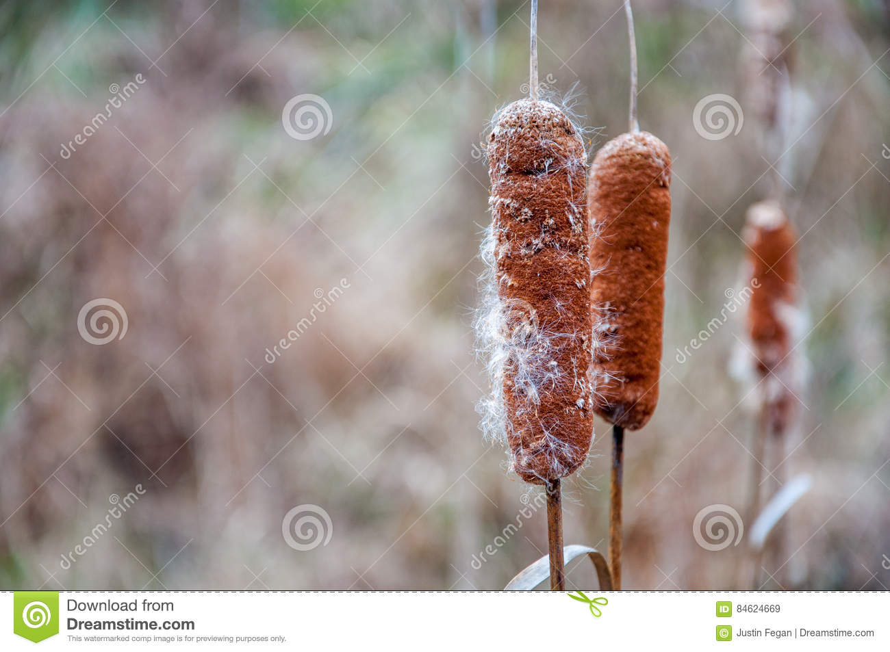 Cattails and pussy willows — img 6