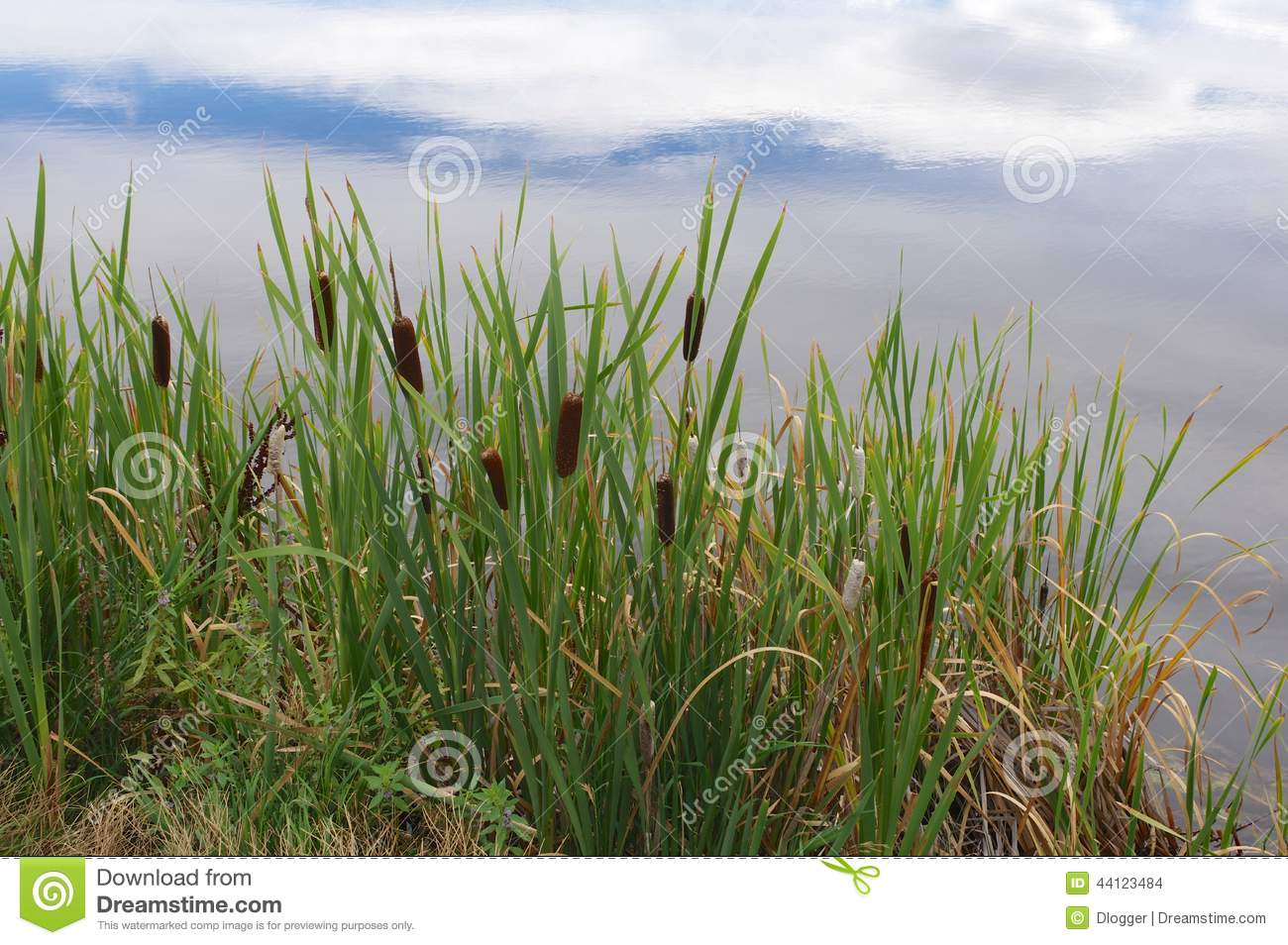Cattails Along A Pond Stock Photo Image 44123484