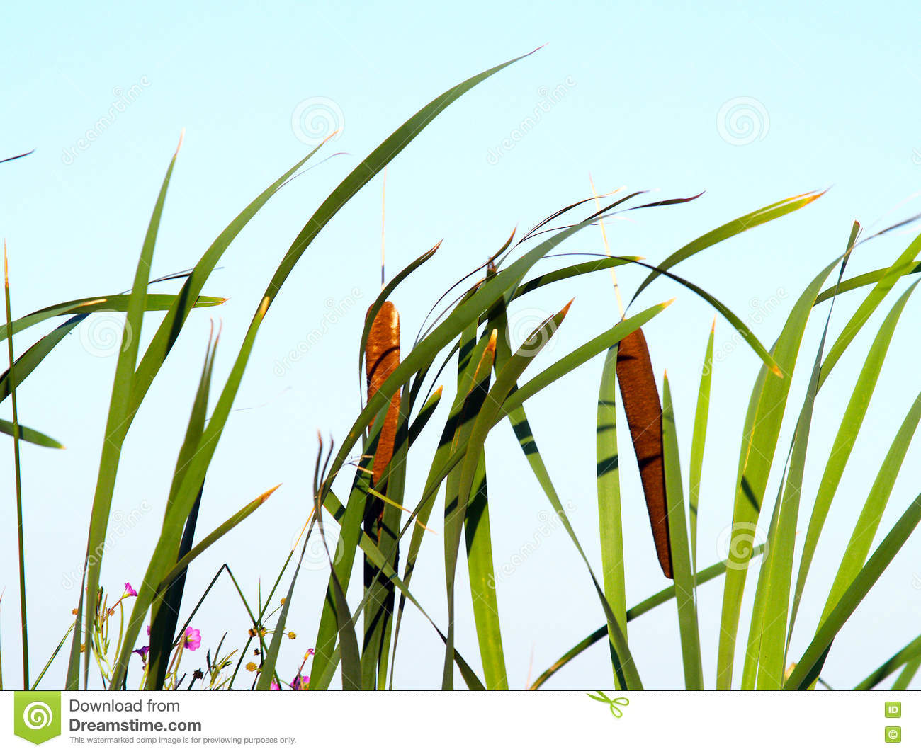 Cattails with clear sky