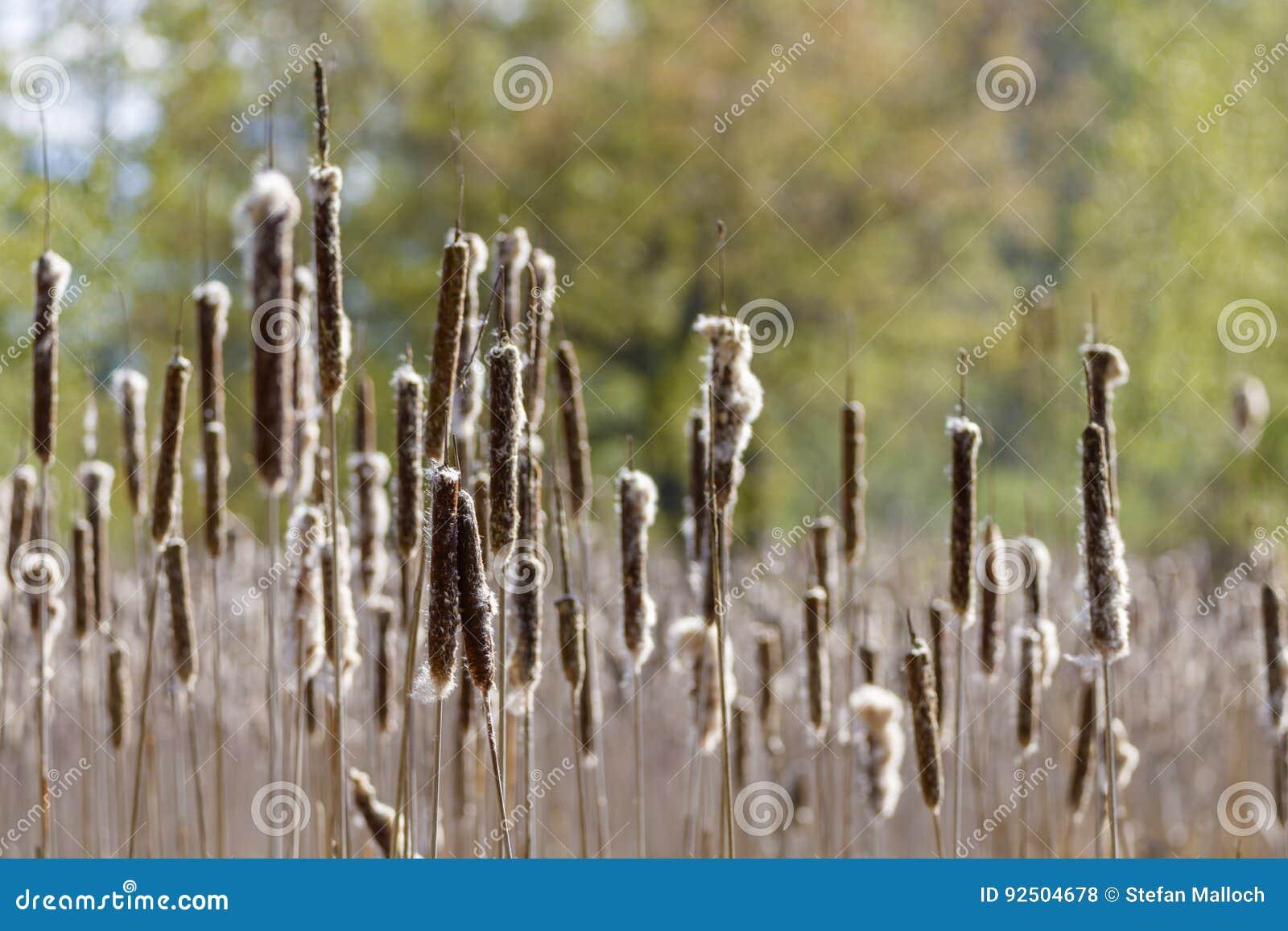 Cattails in einem Sumpfgebiet