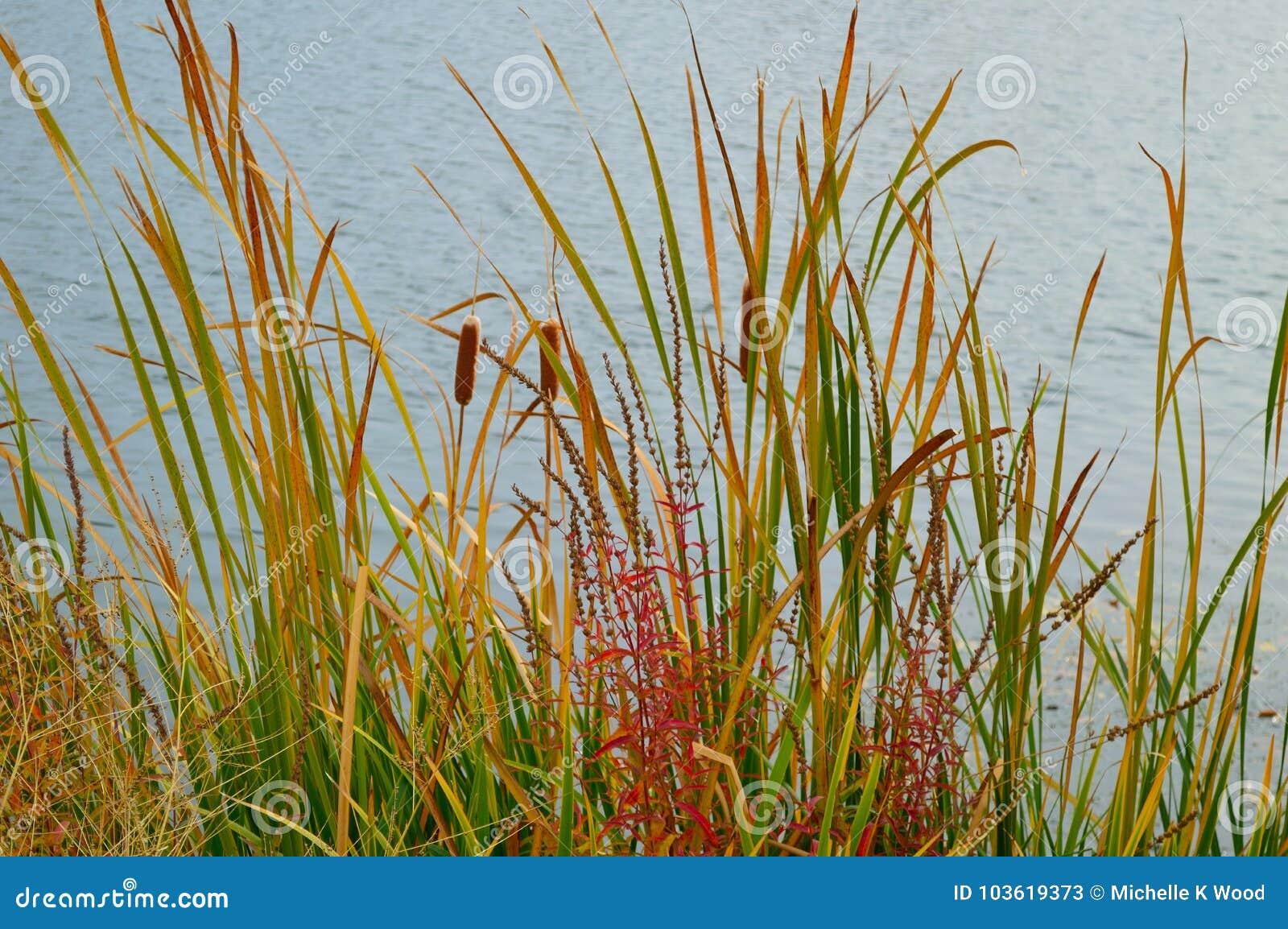 Cattails Reeds Grasses Boise Cascade Lake