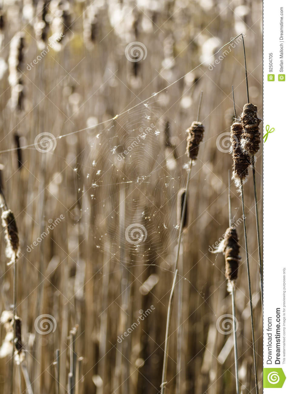 Cattails in a wetland with a spider web