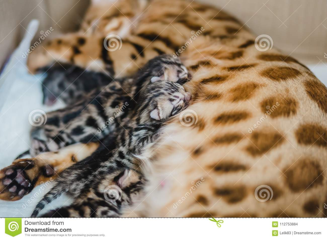 Cattery Of Bengalcats Kitten Stock Photo - Image of looking
