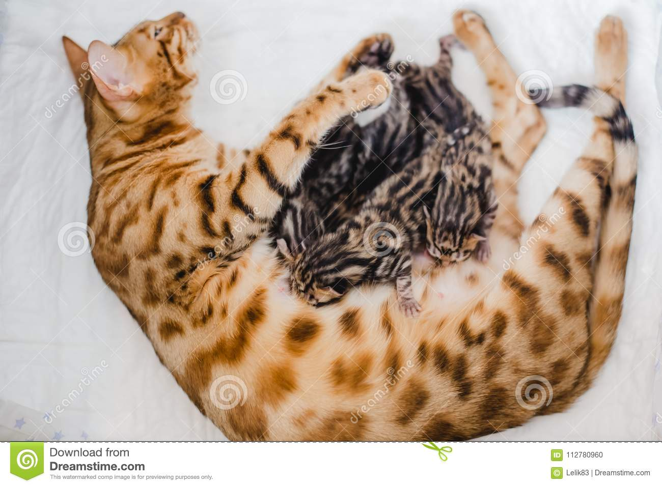 Cattery Of Bengalcats Kitten Stock Photo - Image of young
