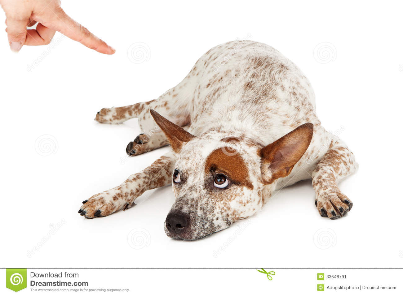 An Australian Cattle Dog mixed breed laying down on the floor and ...
