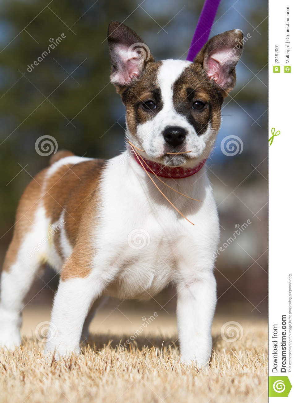 Cattle Dog / Toy Fox Terrier Puppy Stock Image - Image ...