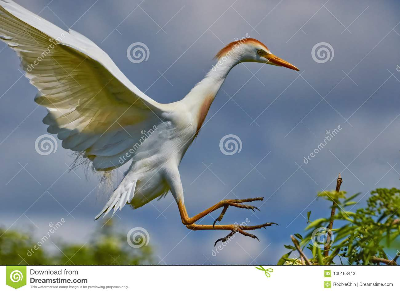 Cattle Egret coming to land