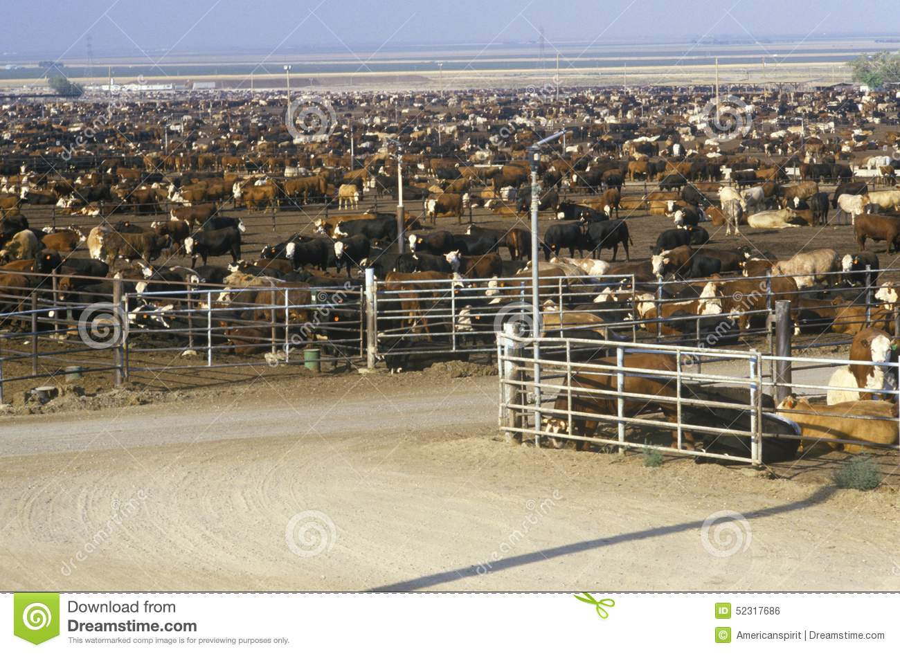 Cattle Feed Lots Editorial Photo Image 52317686
