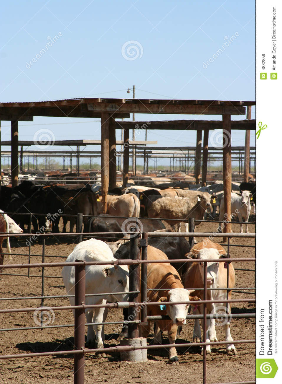 Starting Cattle Fattening Farming Business Plan (PDF)